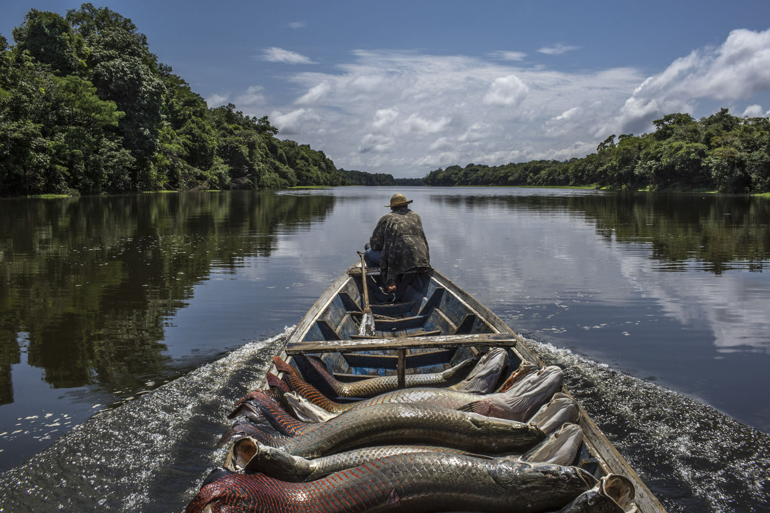 The New York Times: The Fishing for a Goliath of the River in the Amazon                     A fisherman guides his canoe laden with pirarucu out of Lago do Macaco, or Monkey's Lake, in Brazil's Amazonas region, Oct. 28, 2014.