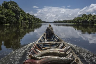 A fisherman guides his canoe laden with pirarucu out of Lago do Macaco, or Monkey's Lake, in Brazilís Amazonas region.