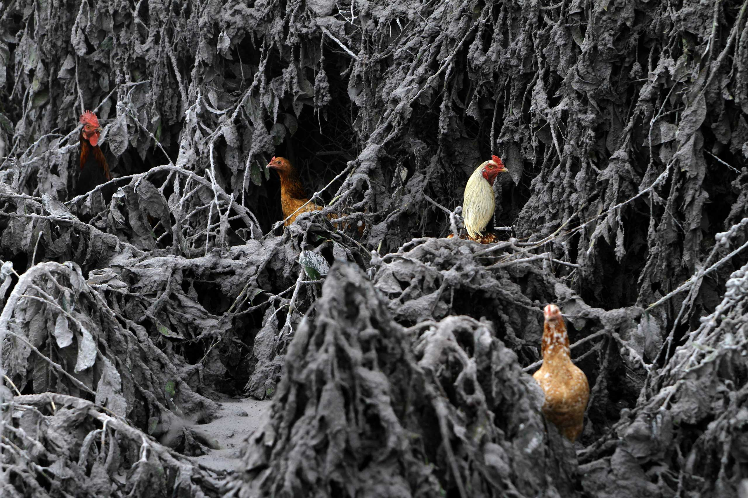 Chickens are seen in the midst of plants covered by ash from Mount Sinabung near Sigarang-Garang in Indonesia's North Sumatra province, Jan. 12, 2014.
