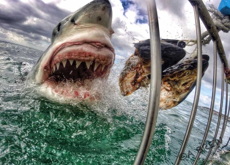 A Great White Shark in Mossel Bay, South Africa