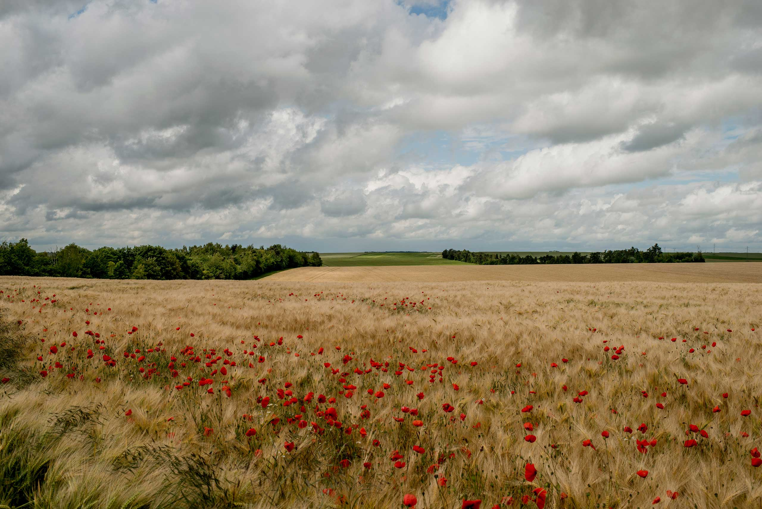 Poppies bloom amid wheat fields that were once the front line during World War I in Marne, France, June 4, 2014.