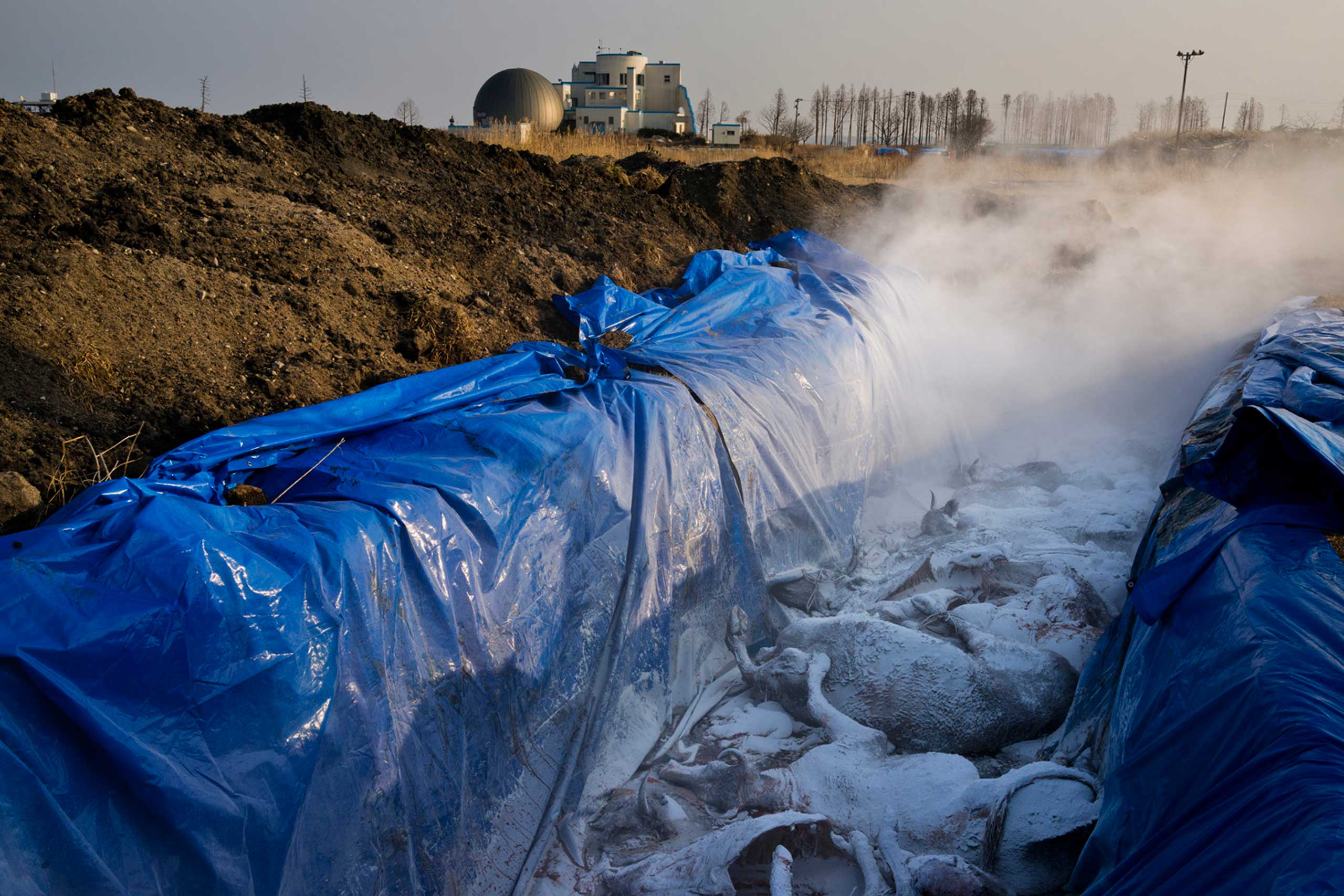 Japan, Namie, 2014. A dozen cow remains are piled in a large pit among thousands of other cow carcasses buried inside the exclusion zone a few kilometers from the Fukushima Daiichi Nuclear Power Station.From  See Inside Fukushima's Lethal Reactor