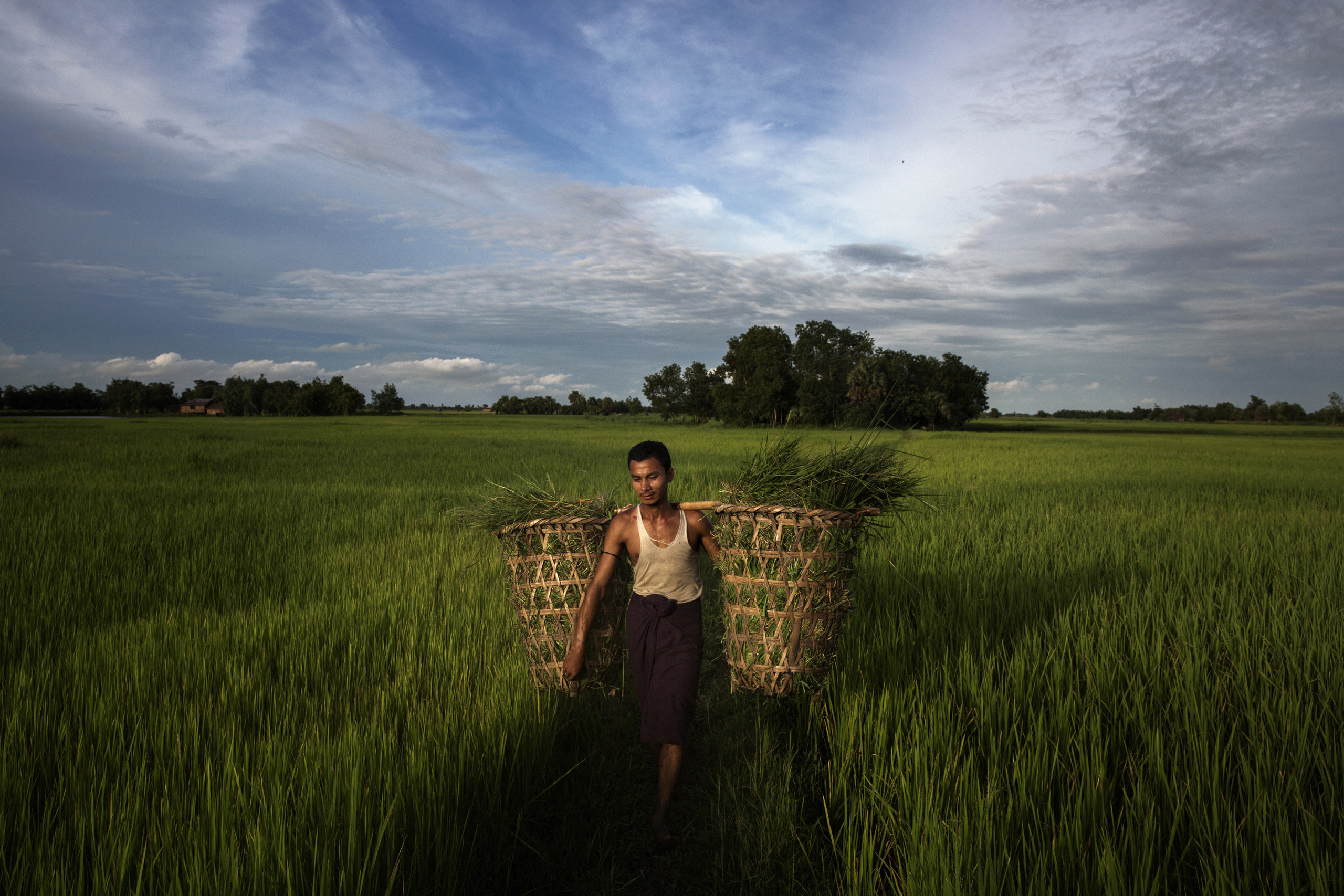 A farmer hauls cut grass through fields in Kawhmu Township—Suu Kyi's constituency—now owned by investors,  Sept. 17, 2014.