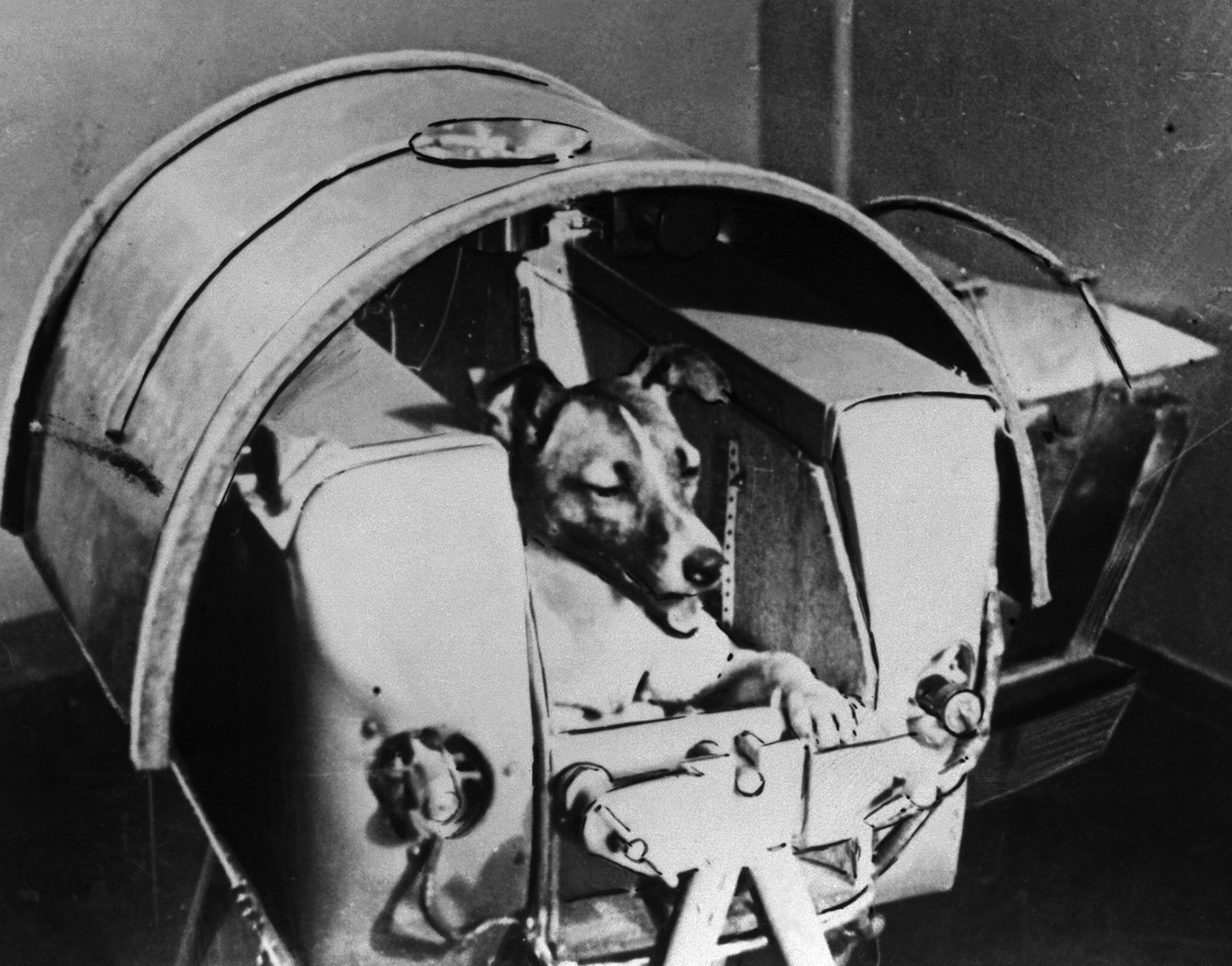 Laika, Russian cosmonaut dog, in 1957.