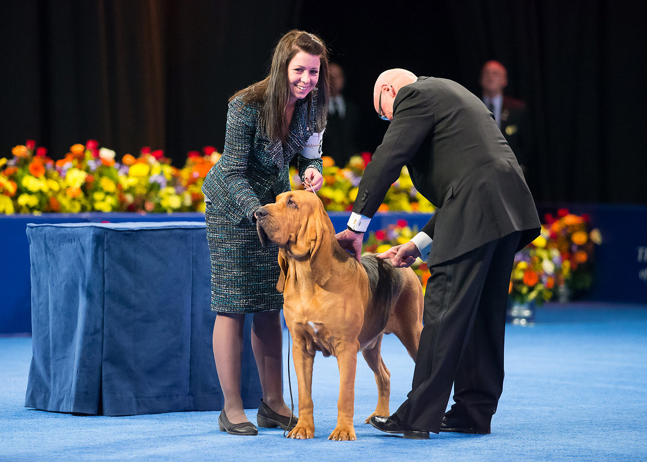 Nathan the bloodhound, winner of Best in Show at the 2014 National Dog Show