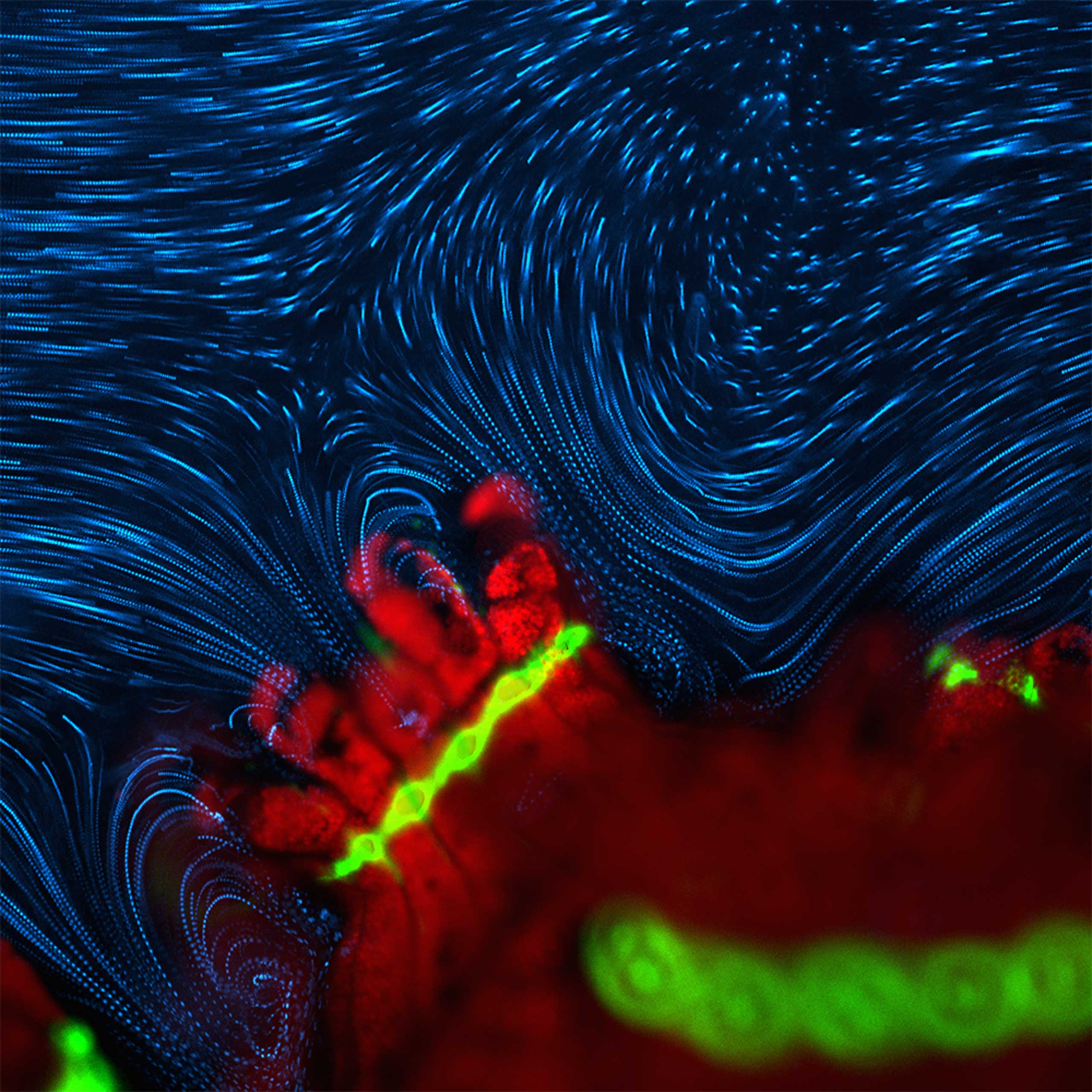 Active fluid flow around P. damicornis at 4x magnification