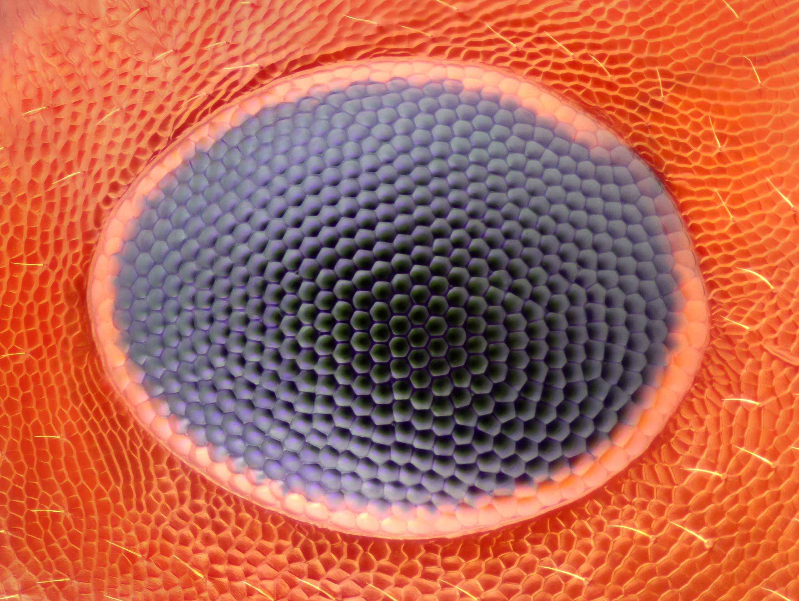 An ant eye at 20x magnification.