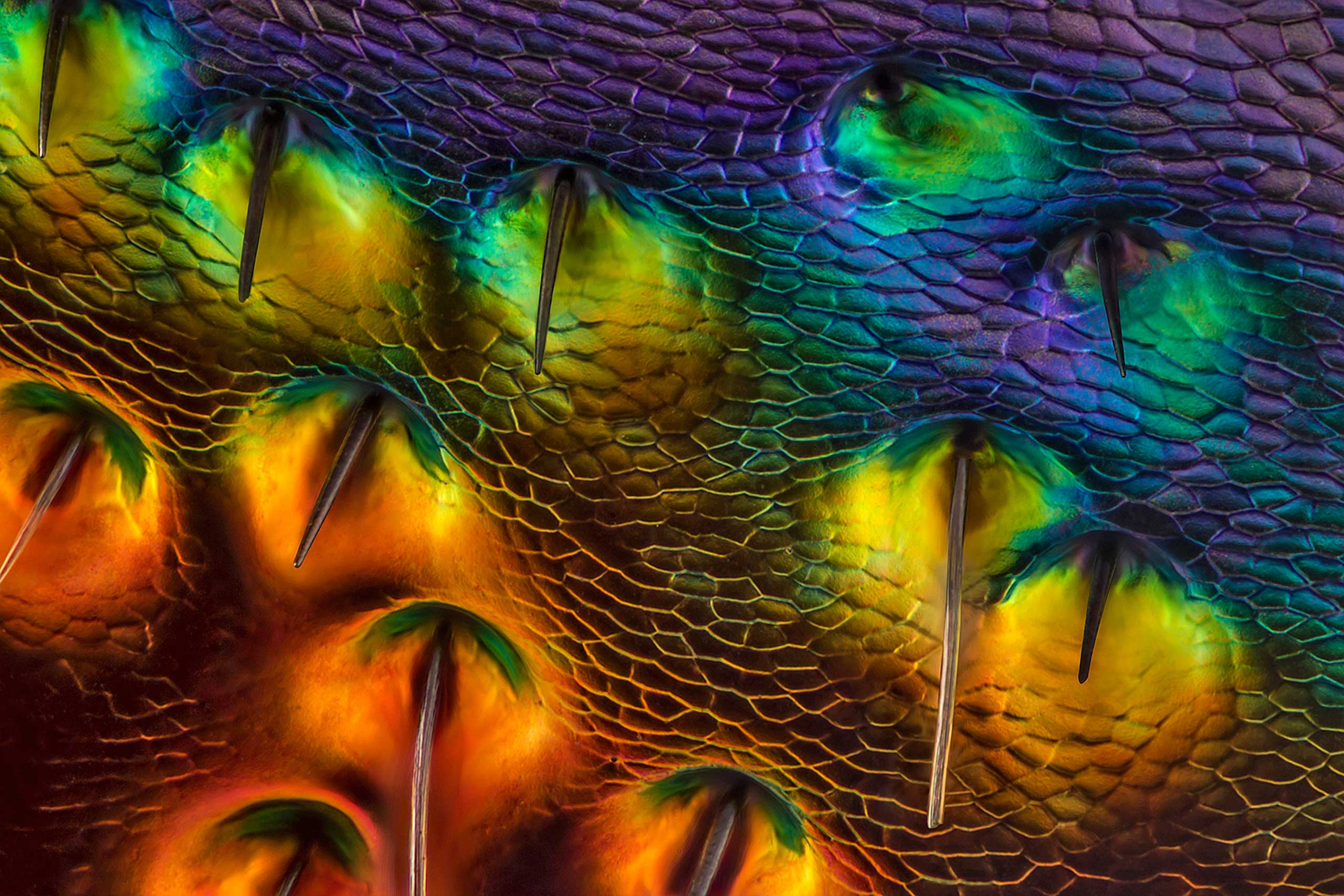 A Chrysochroa buqueti (jewel beetle) carapace, near eye at 450x magnification.