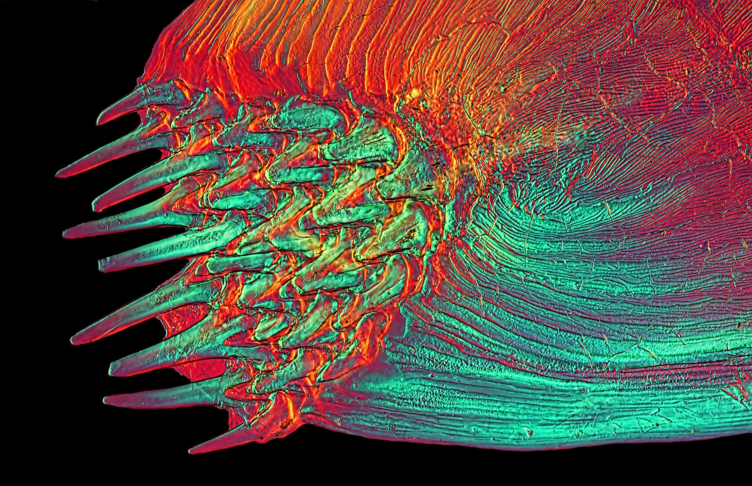 A Solea sp. (fish) at 25x magnification.
