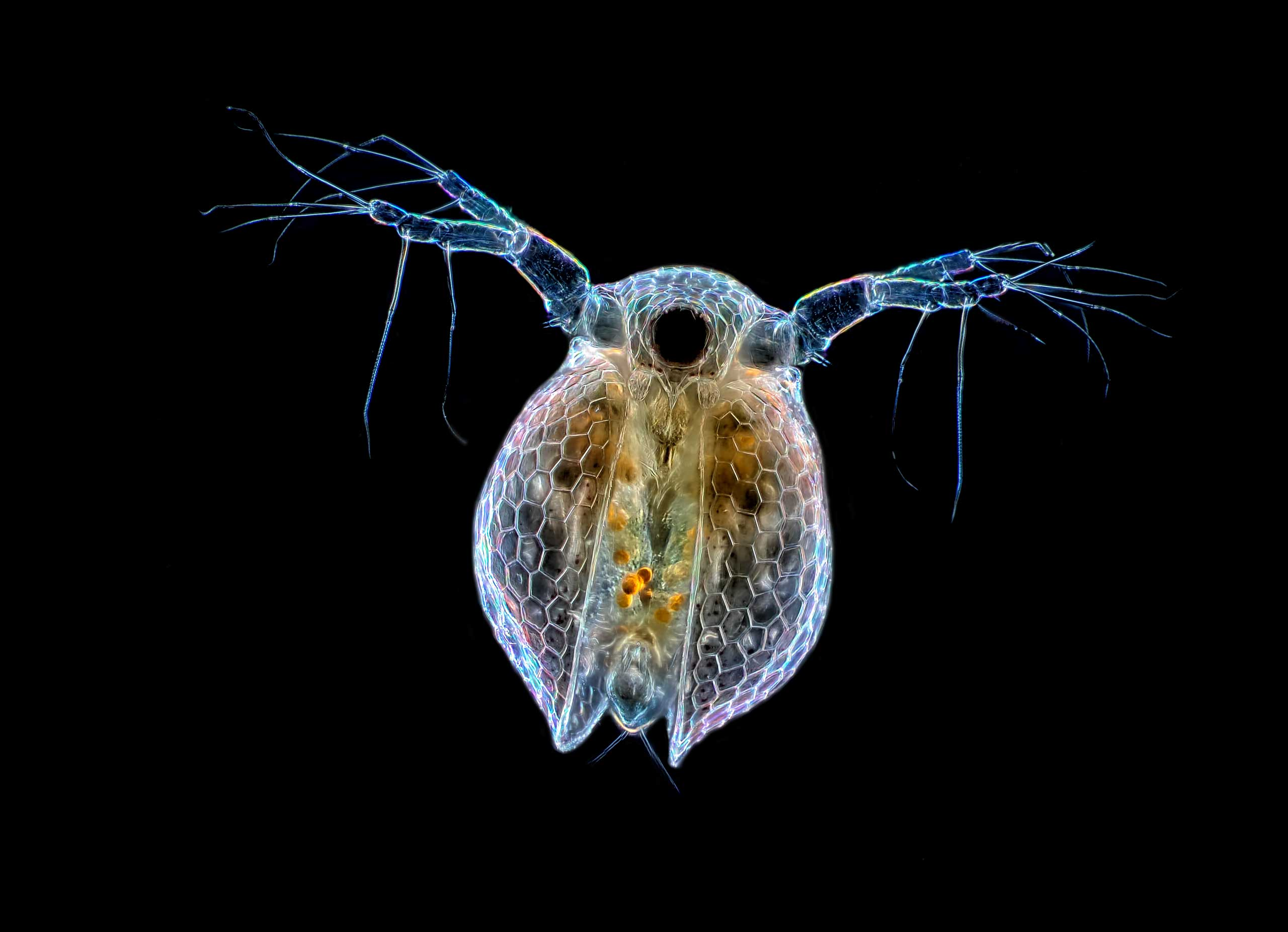 A Ceriodaphnia sp. (water flea) at 20x magnification.