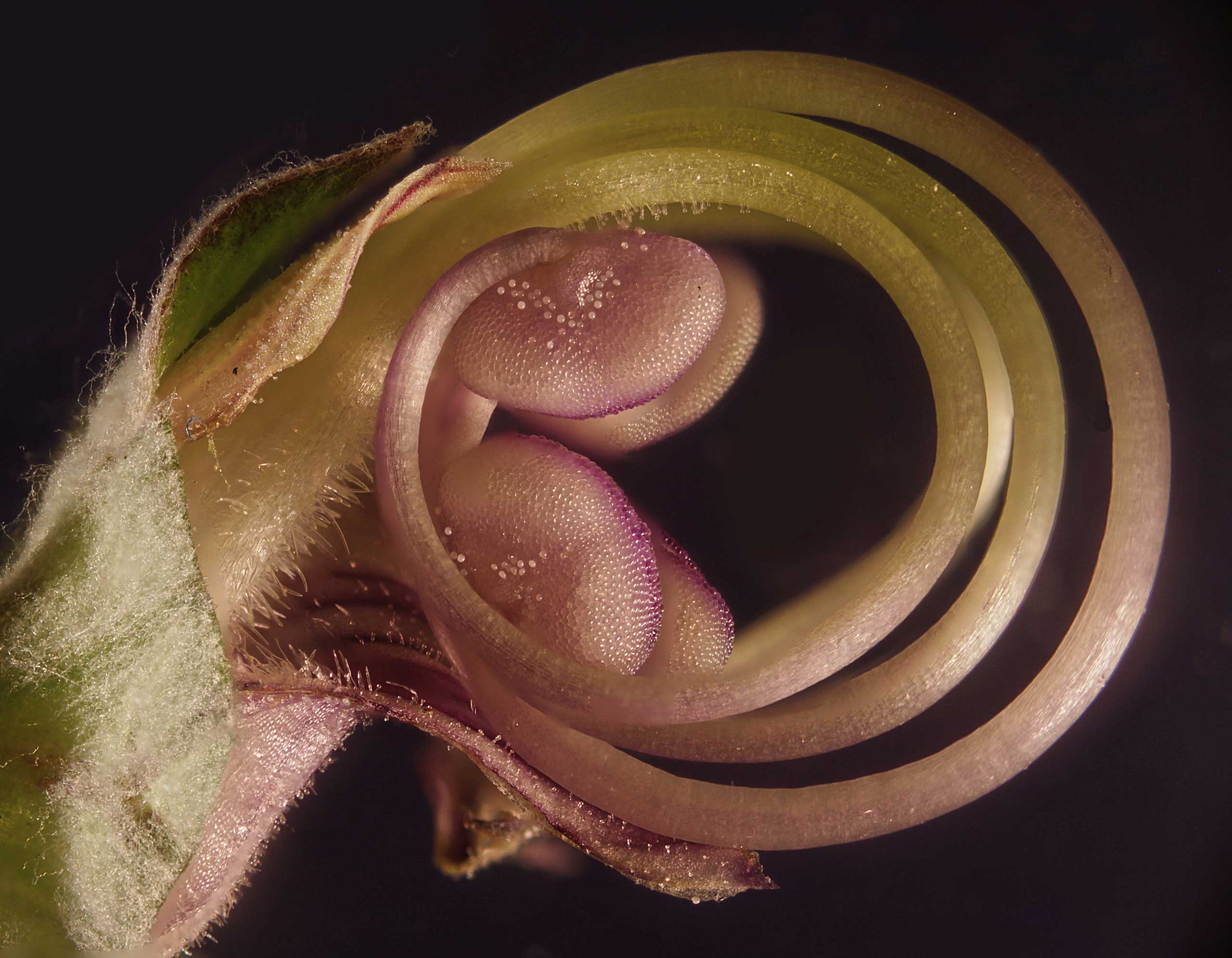 A flower embryo at 40x magnification.