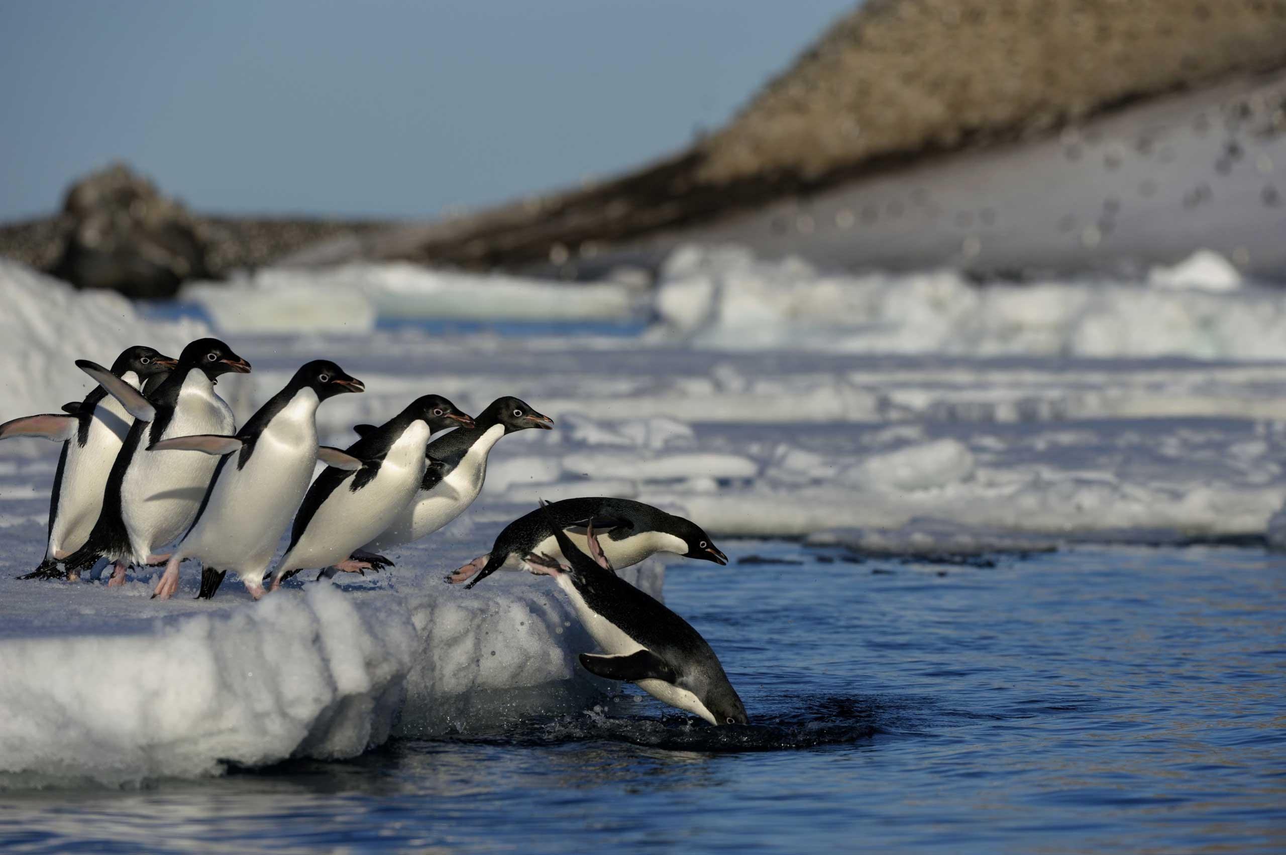 Penguins jump into the water on Paulet Island in Antarctica.