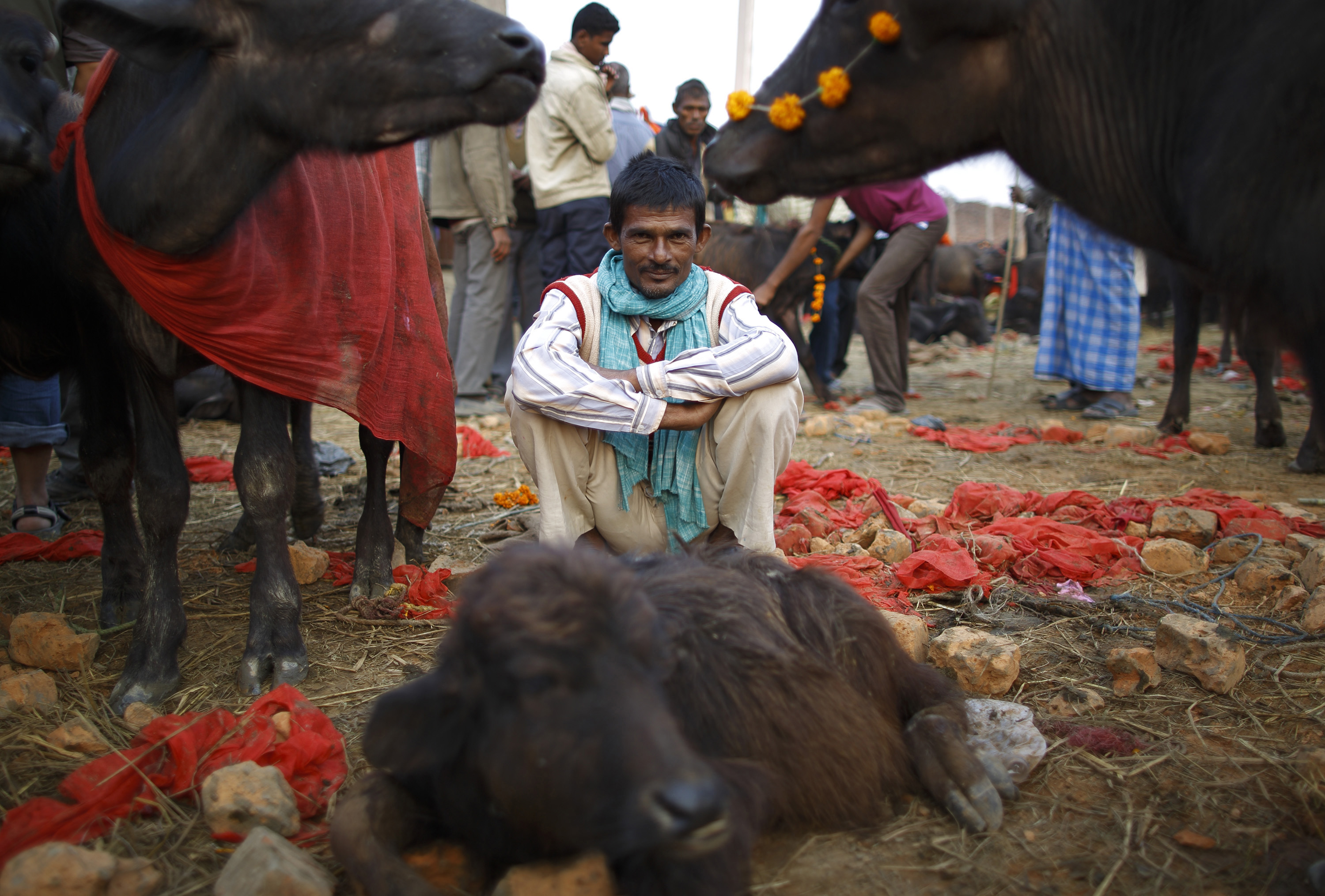A herder sits inside an enclosure for buffalos awaiting sacrifice on the eve of the sacrificial ceremony for the  Gadhimai Mela  festival in Bariyapur Nov. 27, 2014