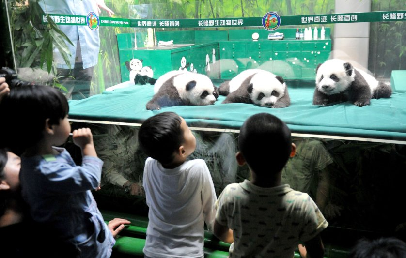 The world's only triplets baby pandas grow up healthily in Guangzhou, Guangdong, China on Nov. 5, 2014.