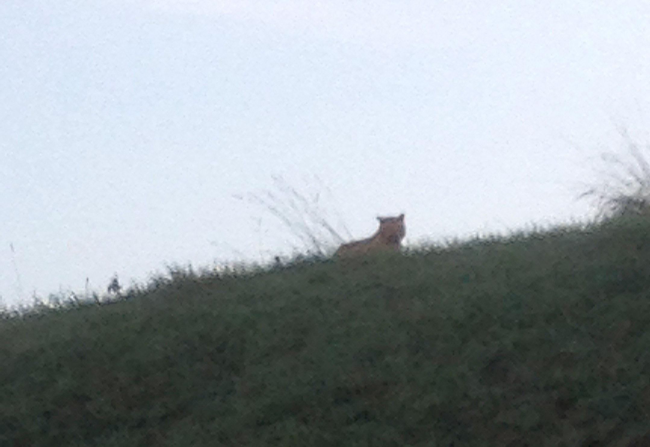 A picture taken by a passerby shows an alleged tiger on the loose walking in Montevrain, east of Paris, on Nov. 13, 2014.