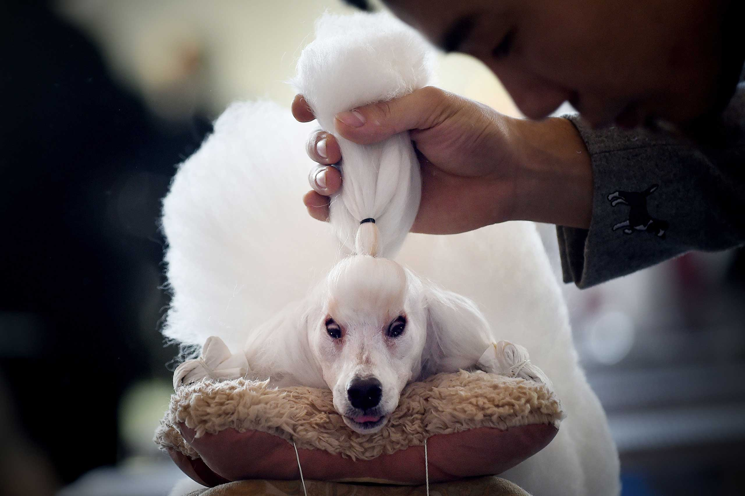 Nov. 17, 2014. A man grooms his mini poodle after competition at the 2014 China International Pet Show in Beijing.