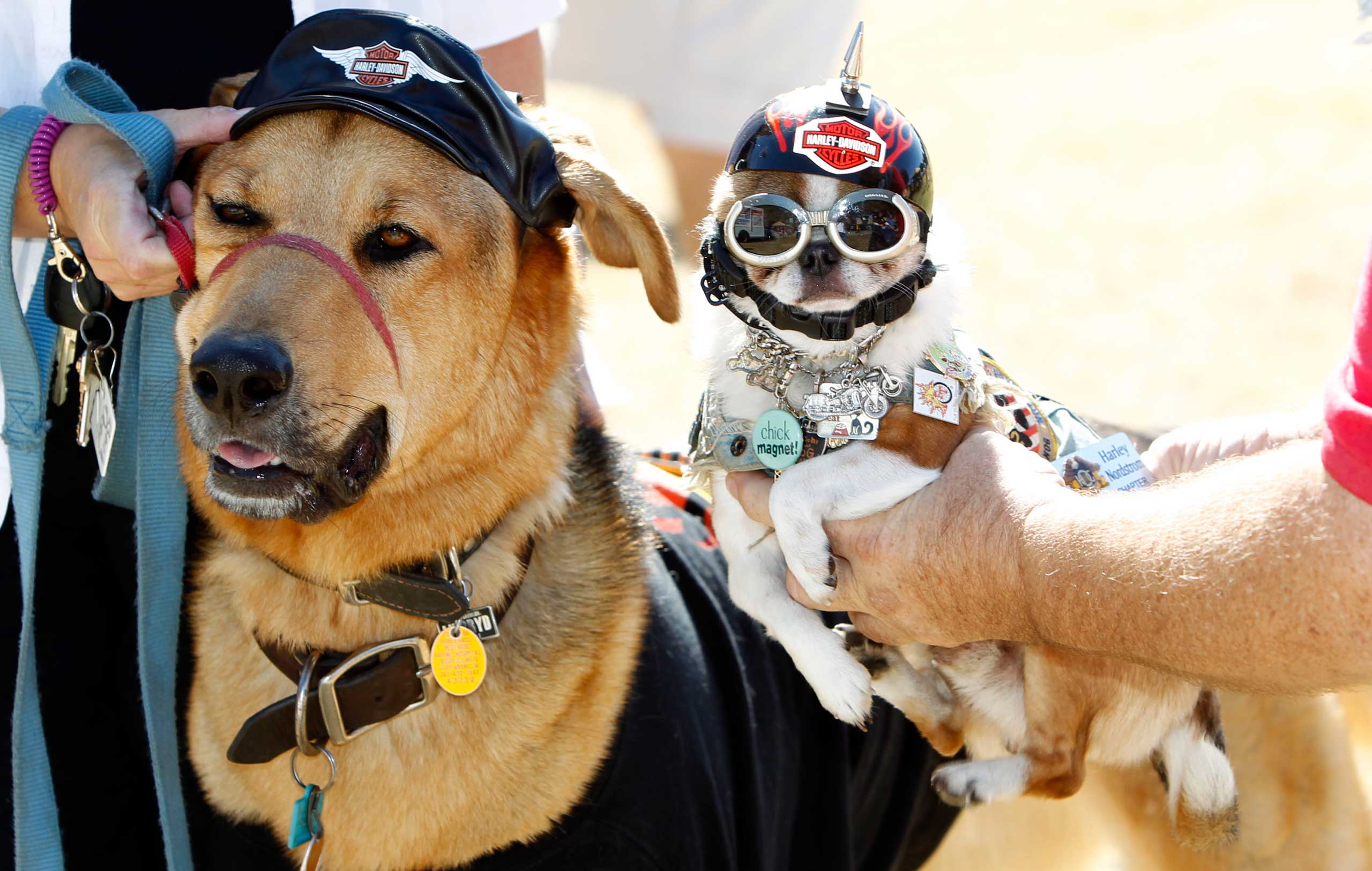 The most dogs in costumed attire gathered in a single location is 426 dogs.