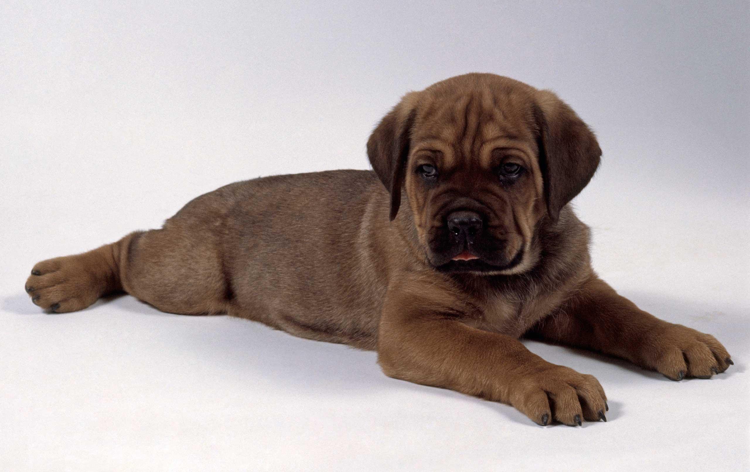 A Cane Corso puppy.