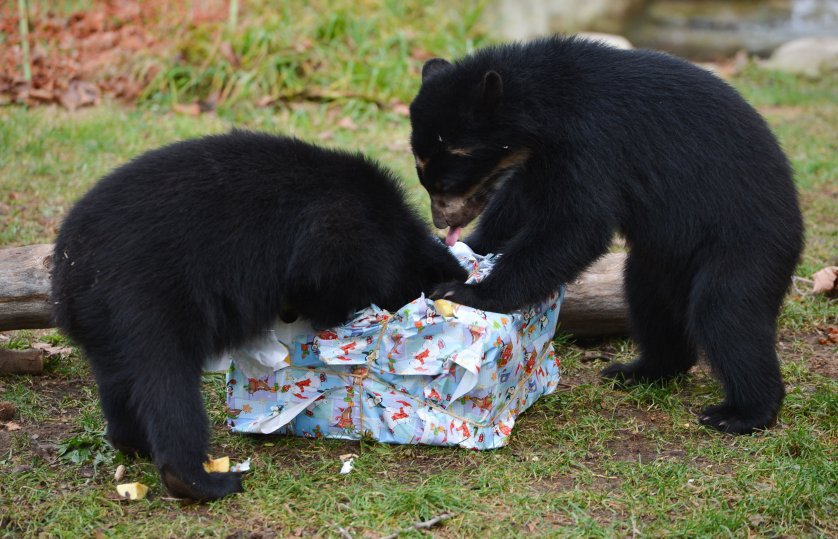 Andean bear twins Tupa und Sonco open their Christmas gift box with fruit and vegetables in their enclosure in the zoo in Frankfurt on Dec. 25, 2014.