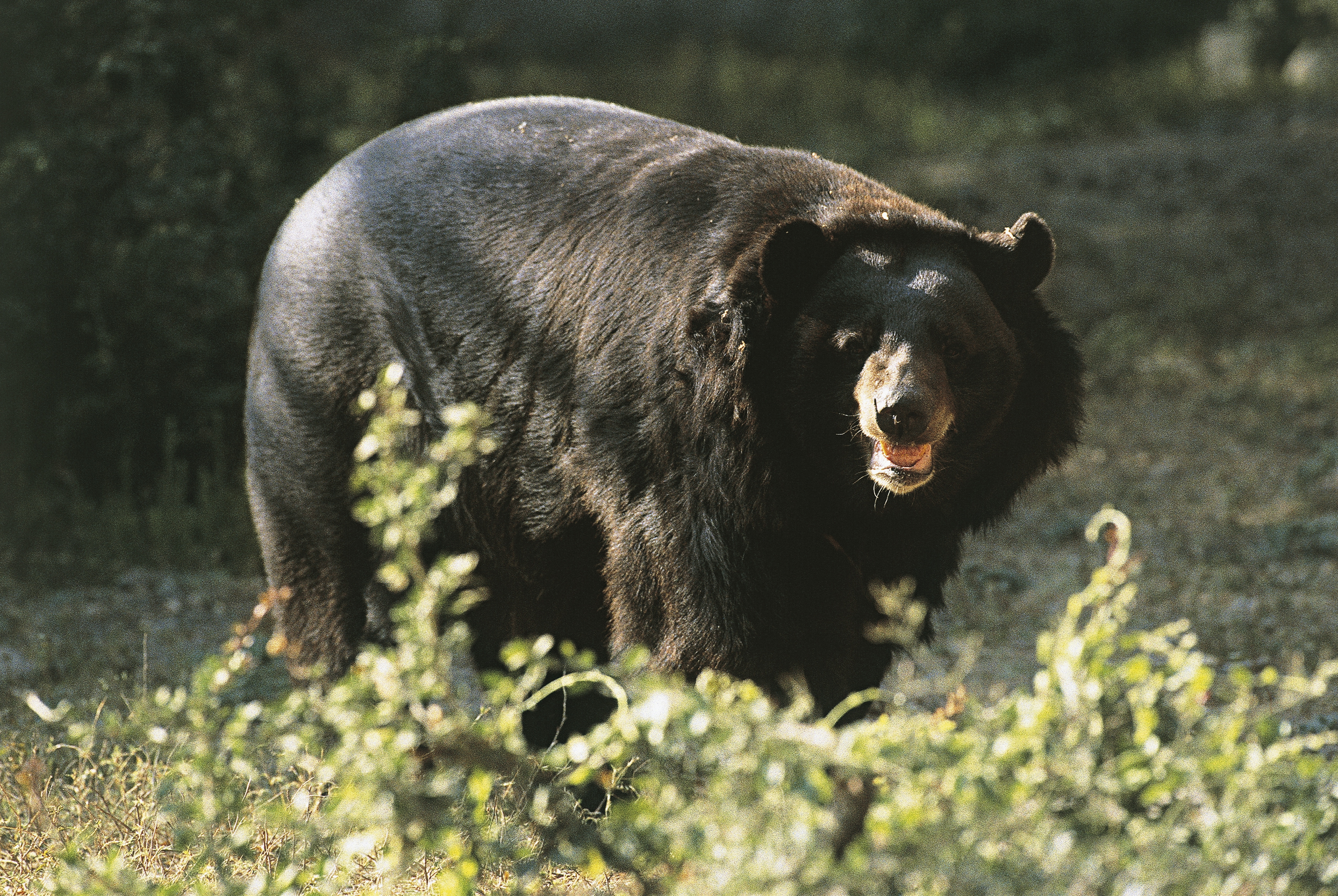 Asian black bear standing in the forest (Ursus thibetanus)