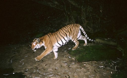 In this undated photo taken by a trap camera and released by the Wildlife Conservation Society Myanmar Program, a tiger walks in the Hukaung Valley Wildlife Sanctuary in Burma