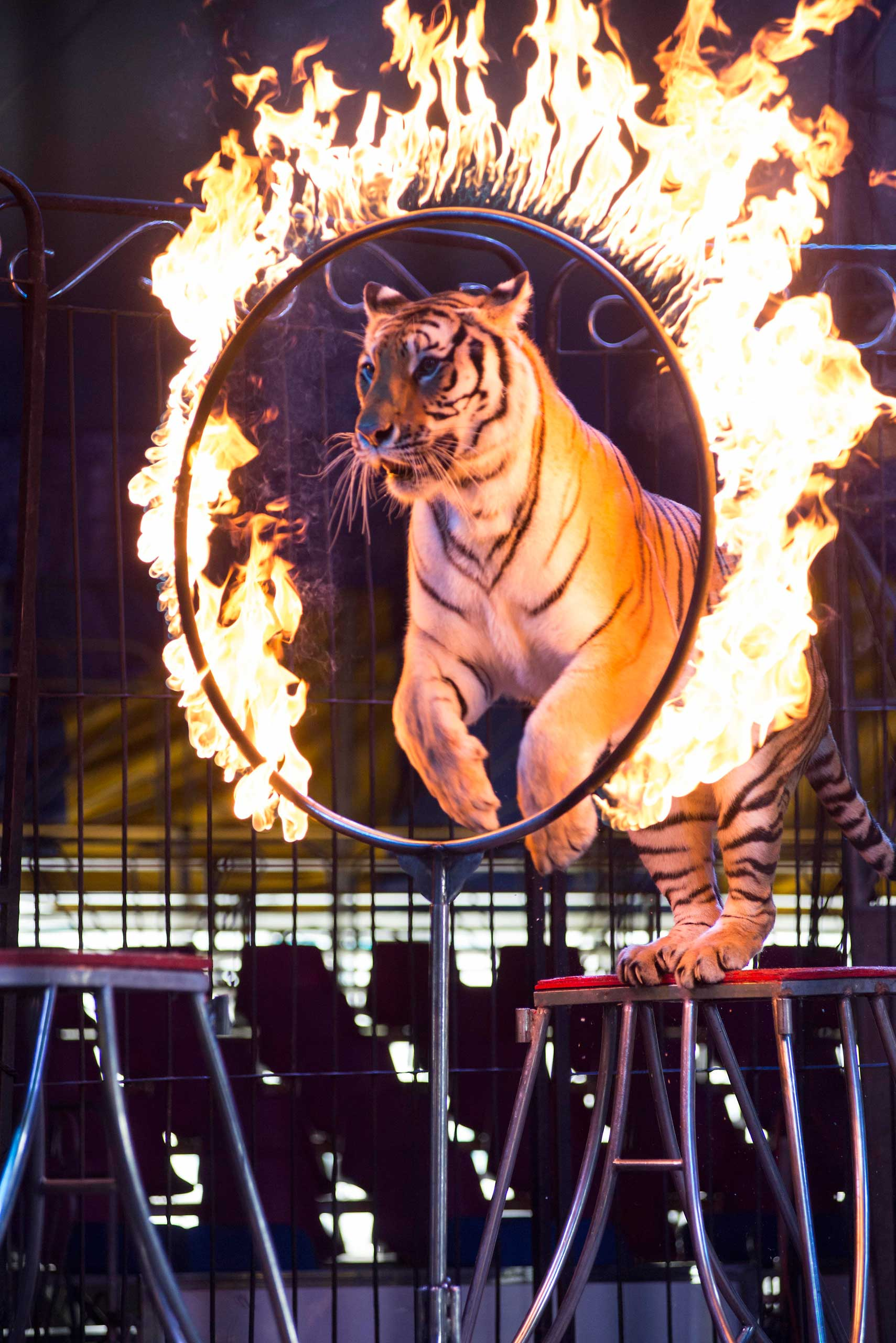 A tiger jumps through a ring of fire during a performance of the Fuentes Gasca Brothers Circus in Mexico City, June 22, 2014.