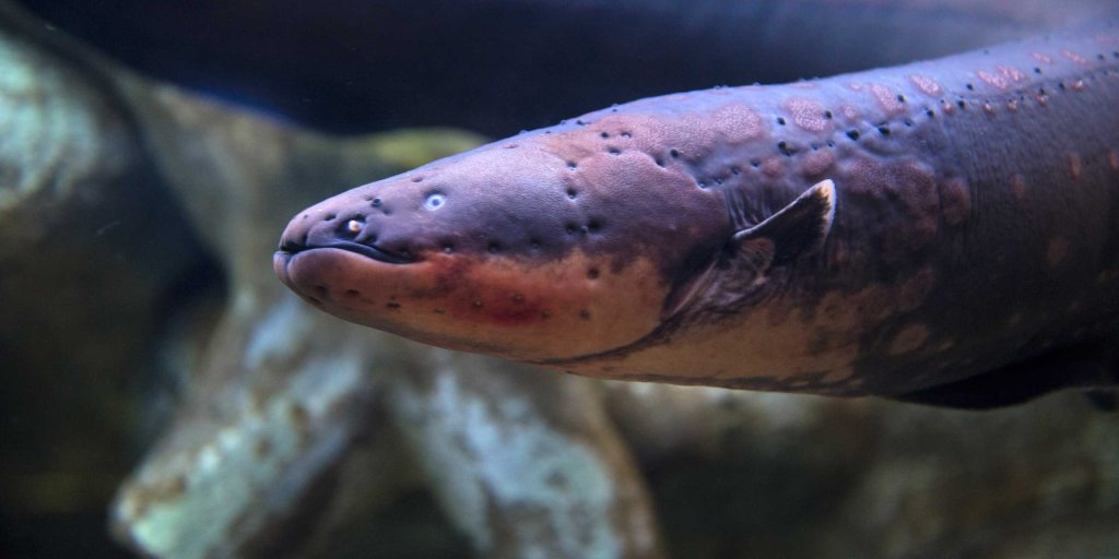 How Electric Eels Shock Their Victims Time