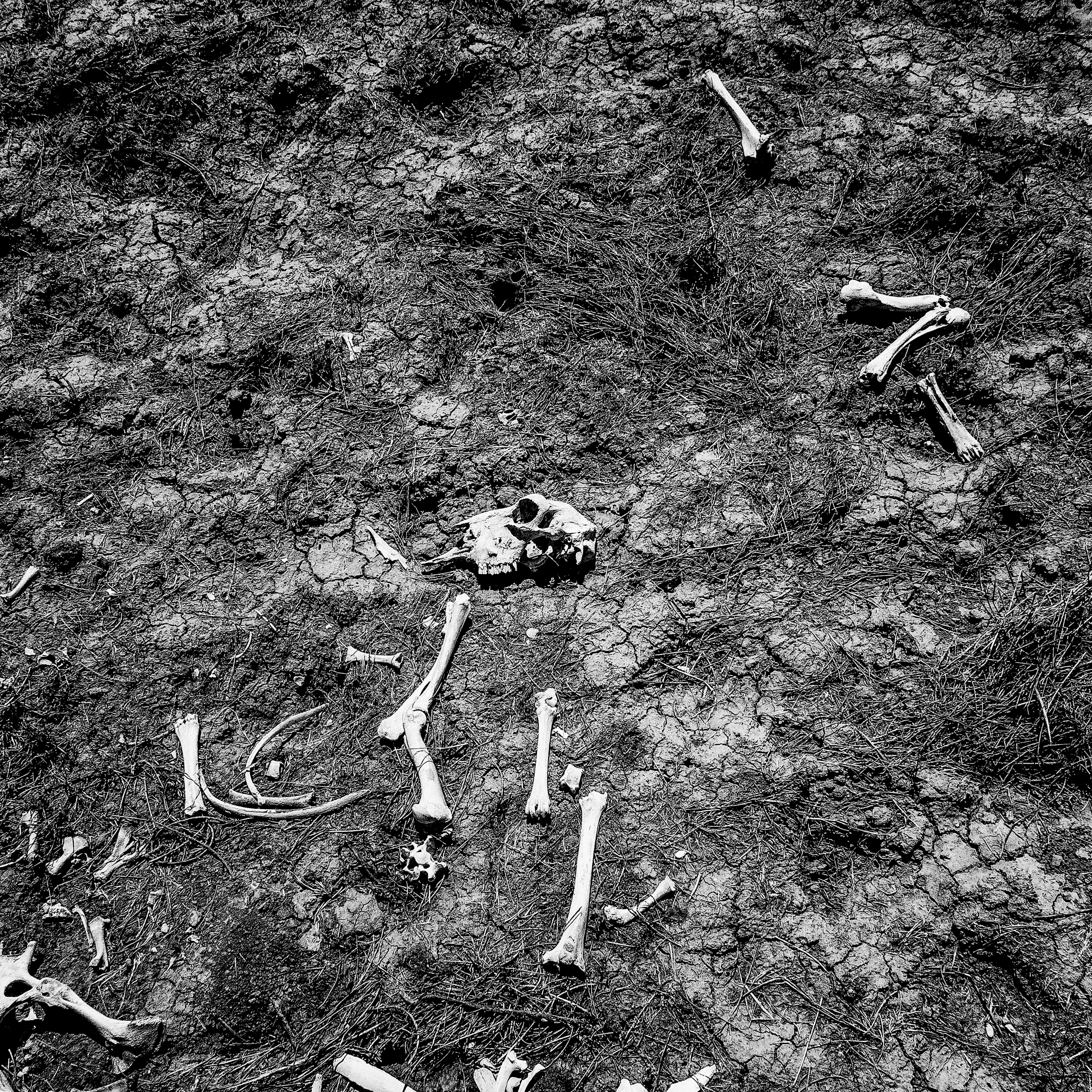 Sheep bones bake under a mid-summer sun near Alpaugh, CA.   Dought related agricultural losses in the Central Valley are expected to top $1.5 billion this year.