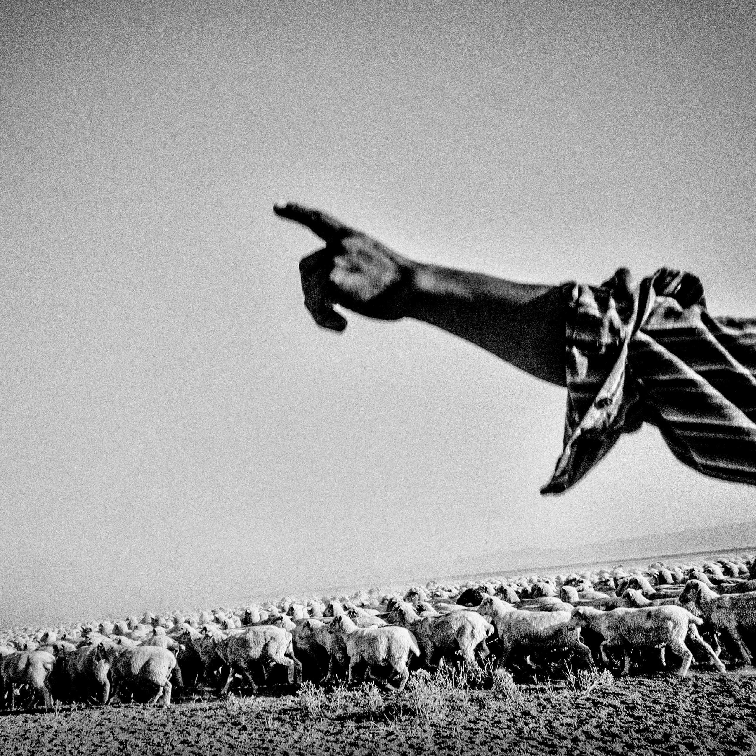 Sheep are herded across a dry wheat field near Mendota, CA.  Most wheat fields failed to germinate this year due to lack of rain.