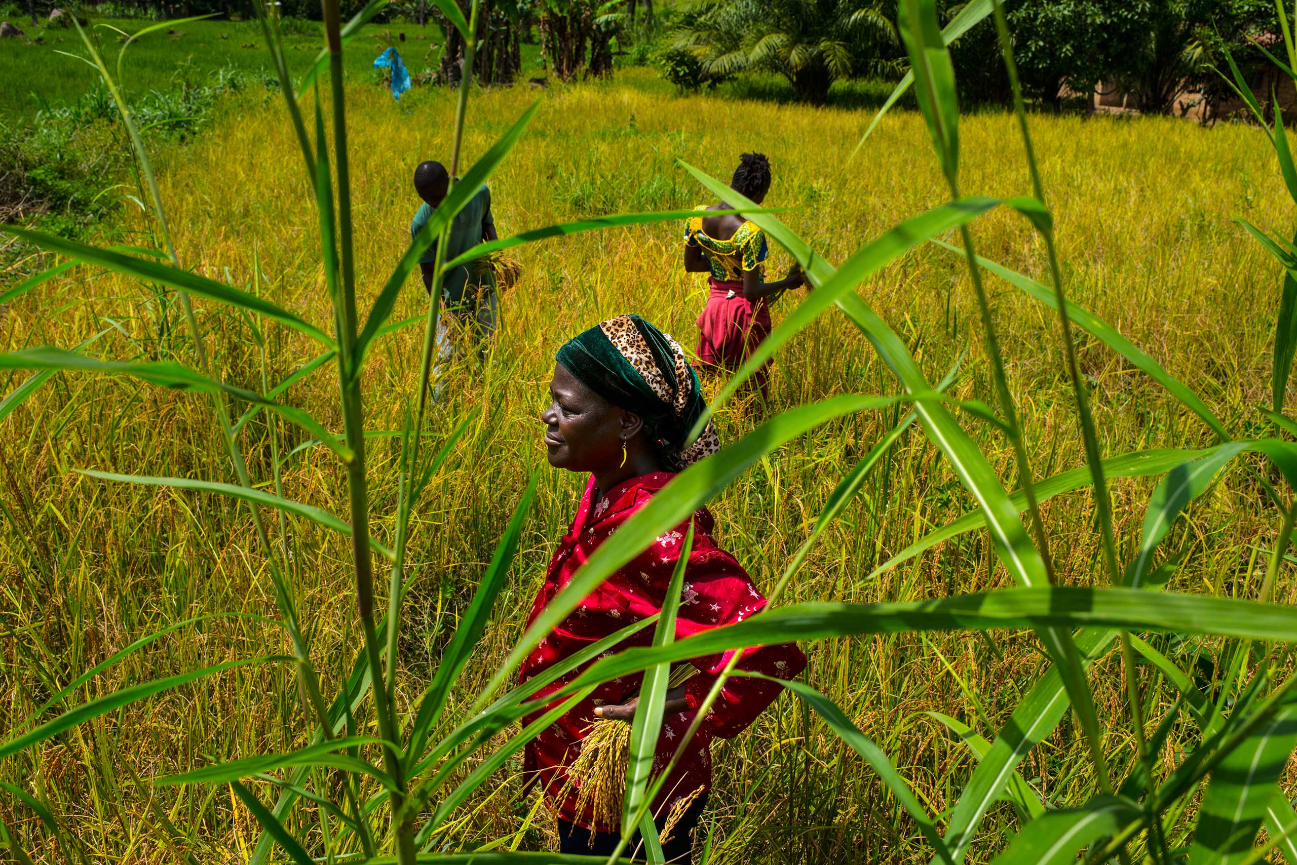 Mary Wargbo and her son and daughter, Cornelius and Joyce harvest rice on Nov. 6, 2014 in Foya, Lofa County, Liberia.