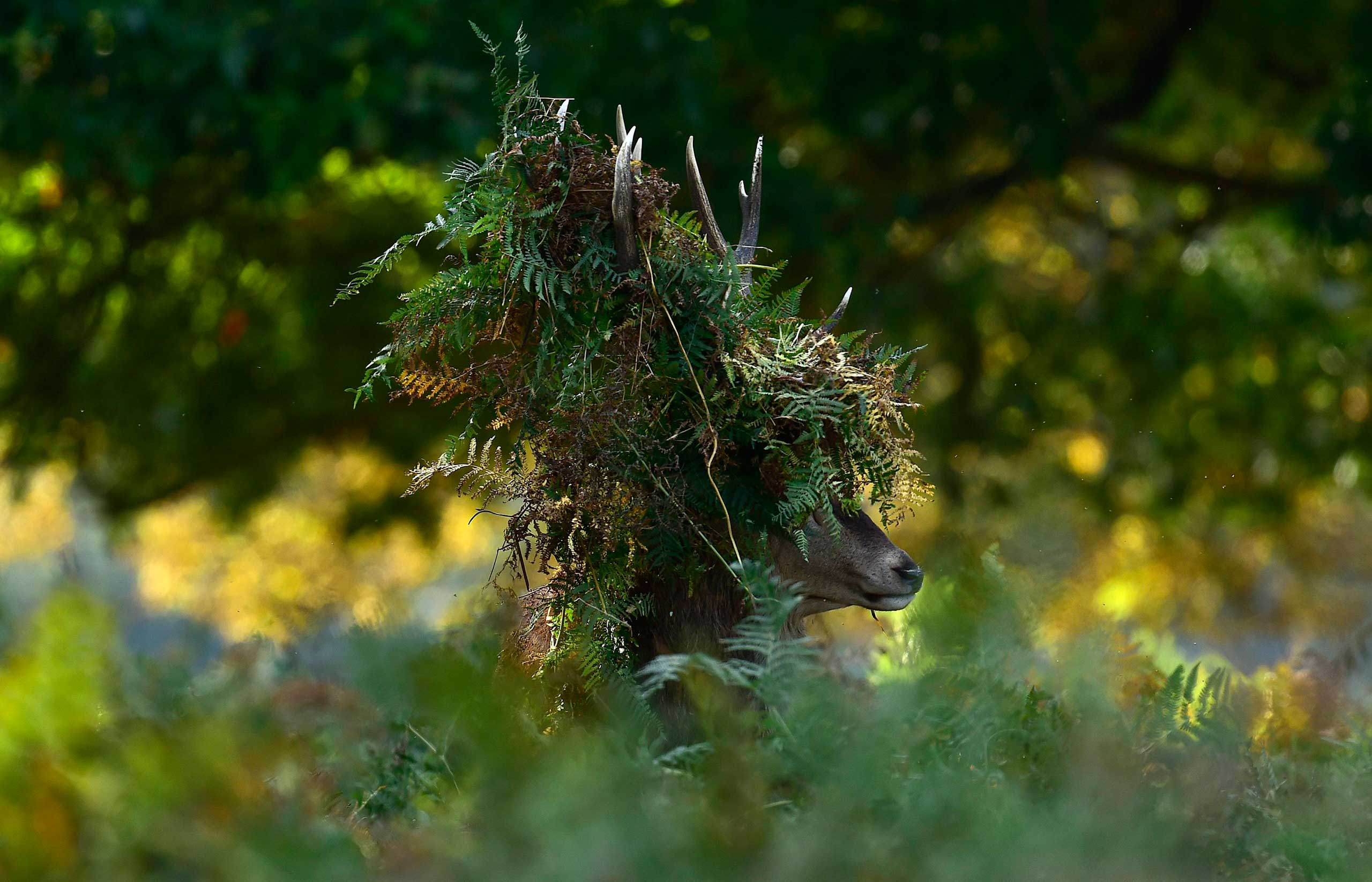 A male red deer with antlers covered in bracken, walks through undergrowth in Richmond Park, London, Oct. 3, 2014.
