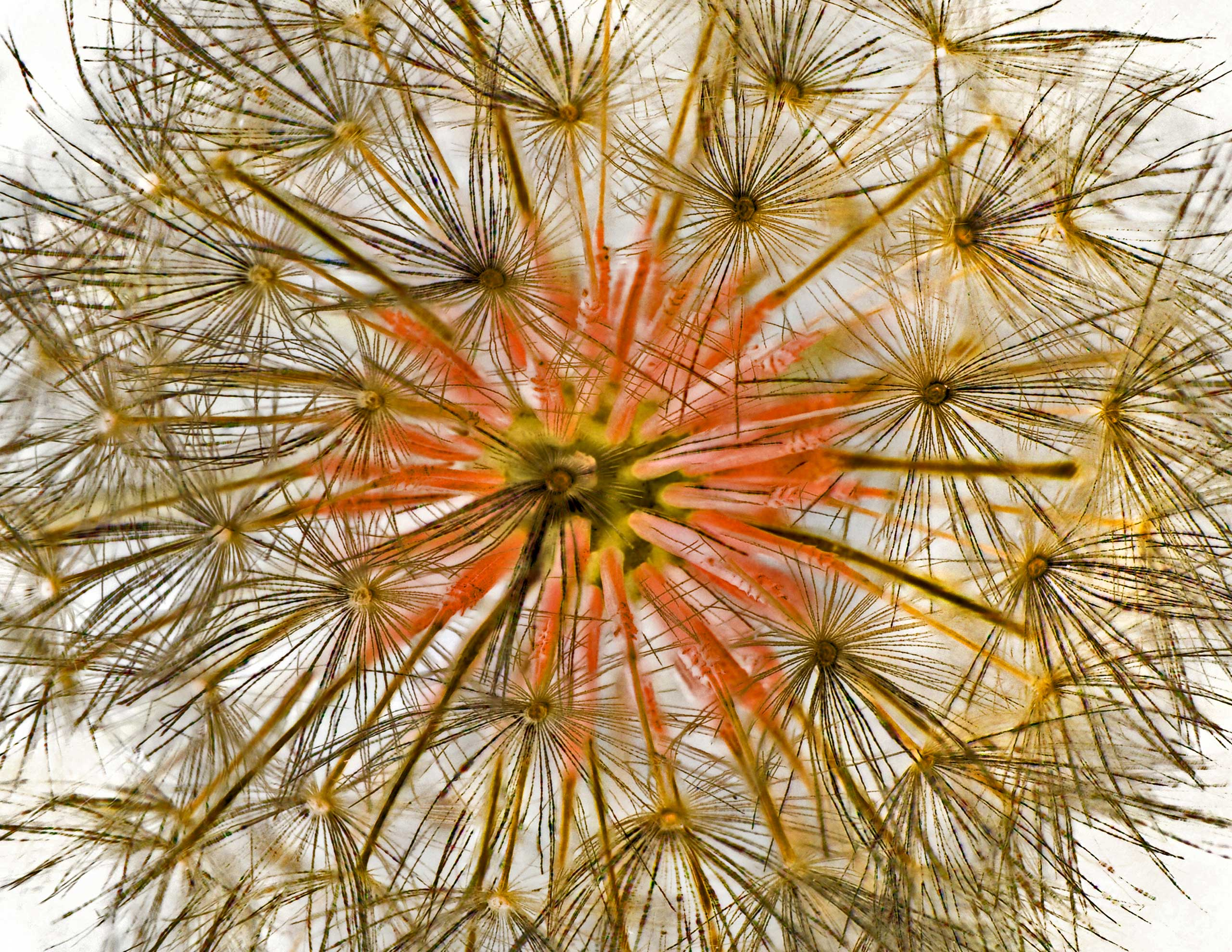 A dandelion at 10x magnification.