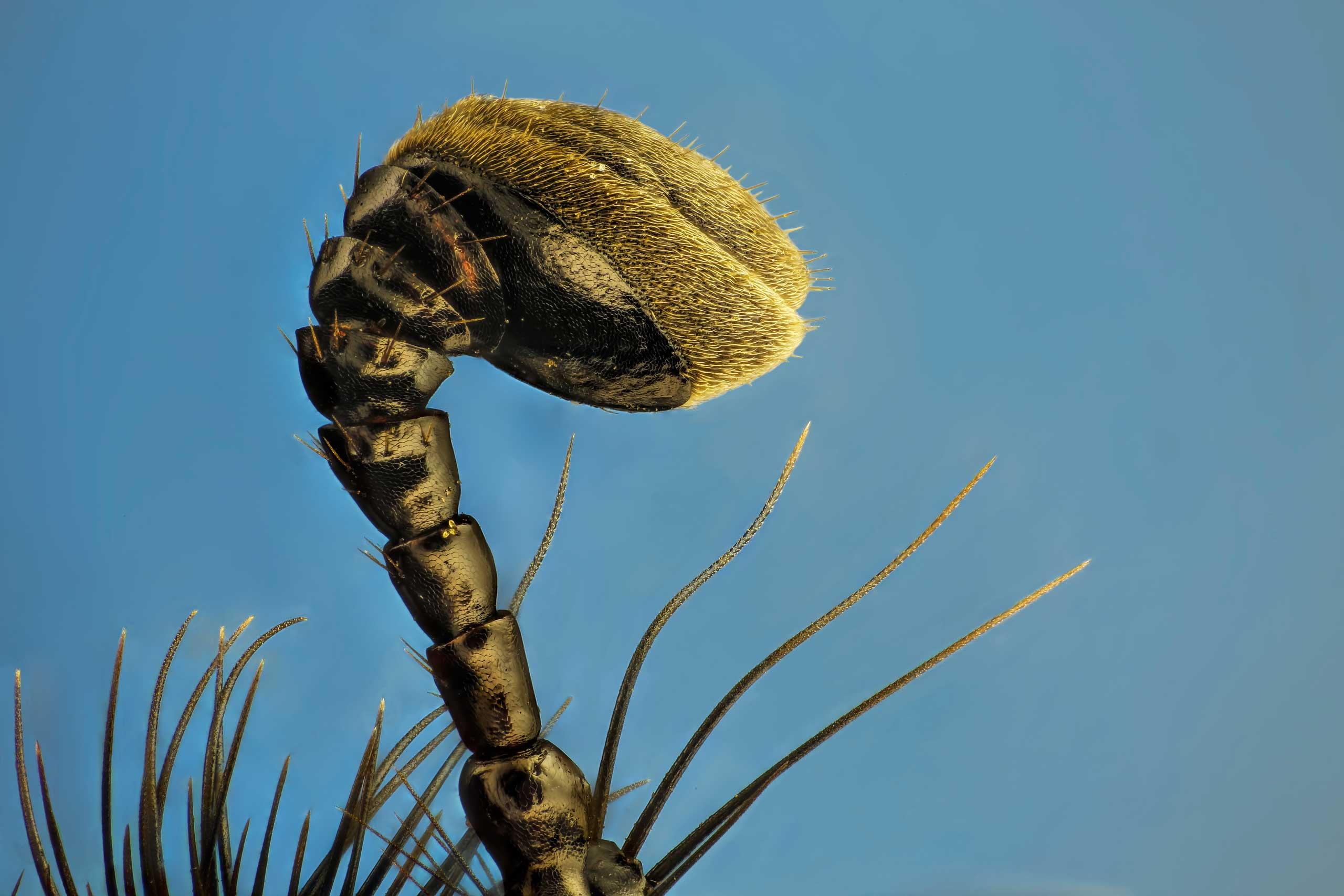 An earth-boring dung beetle.