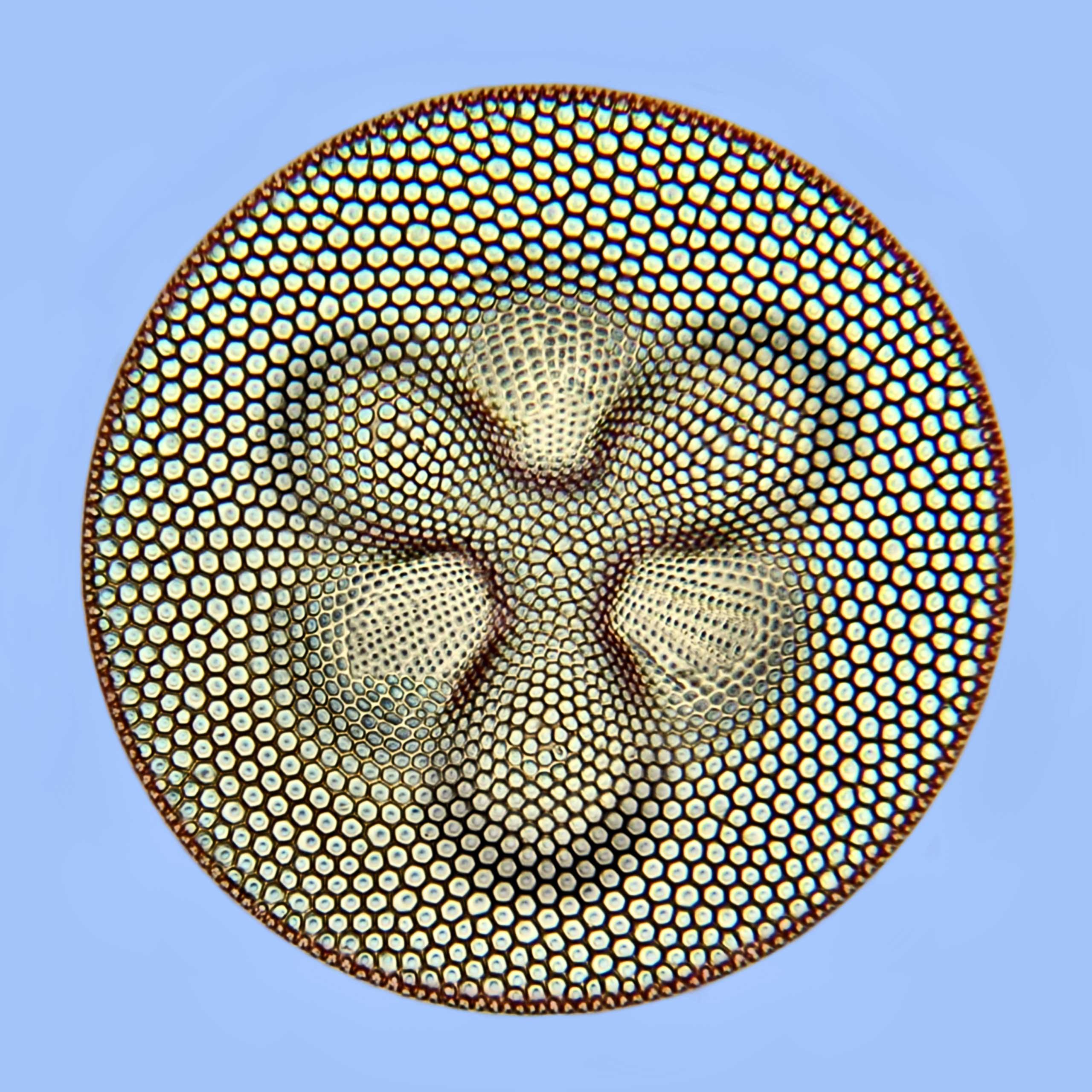 A diatom at 500x magnification.
