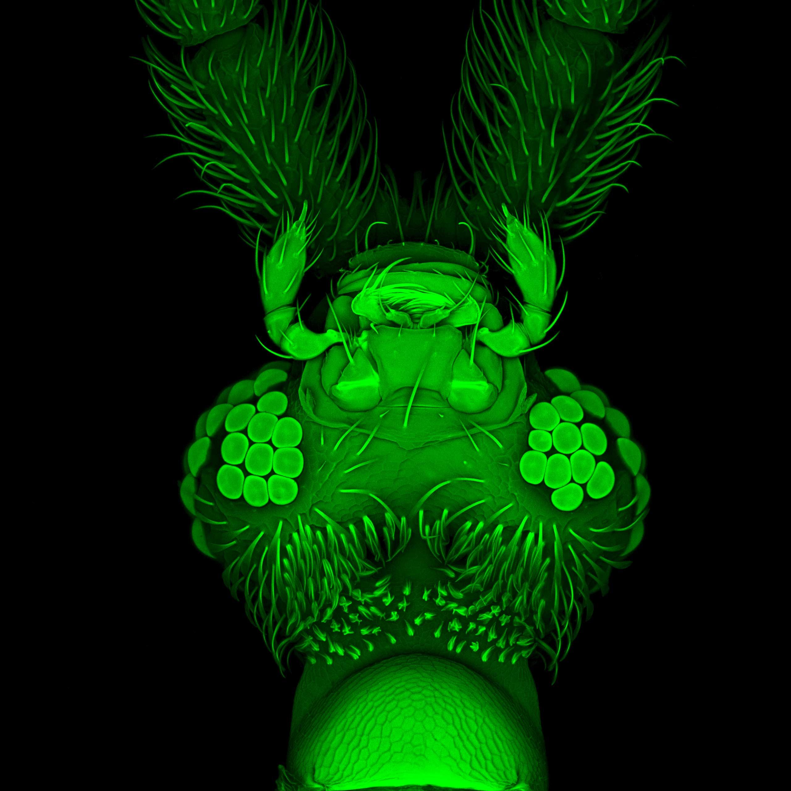 A beetle head seen with confocal microscopy.