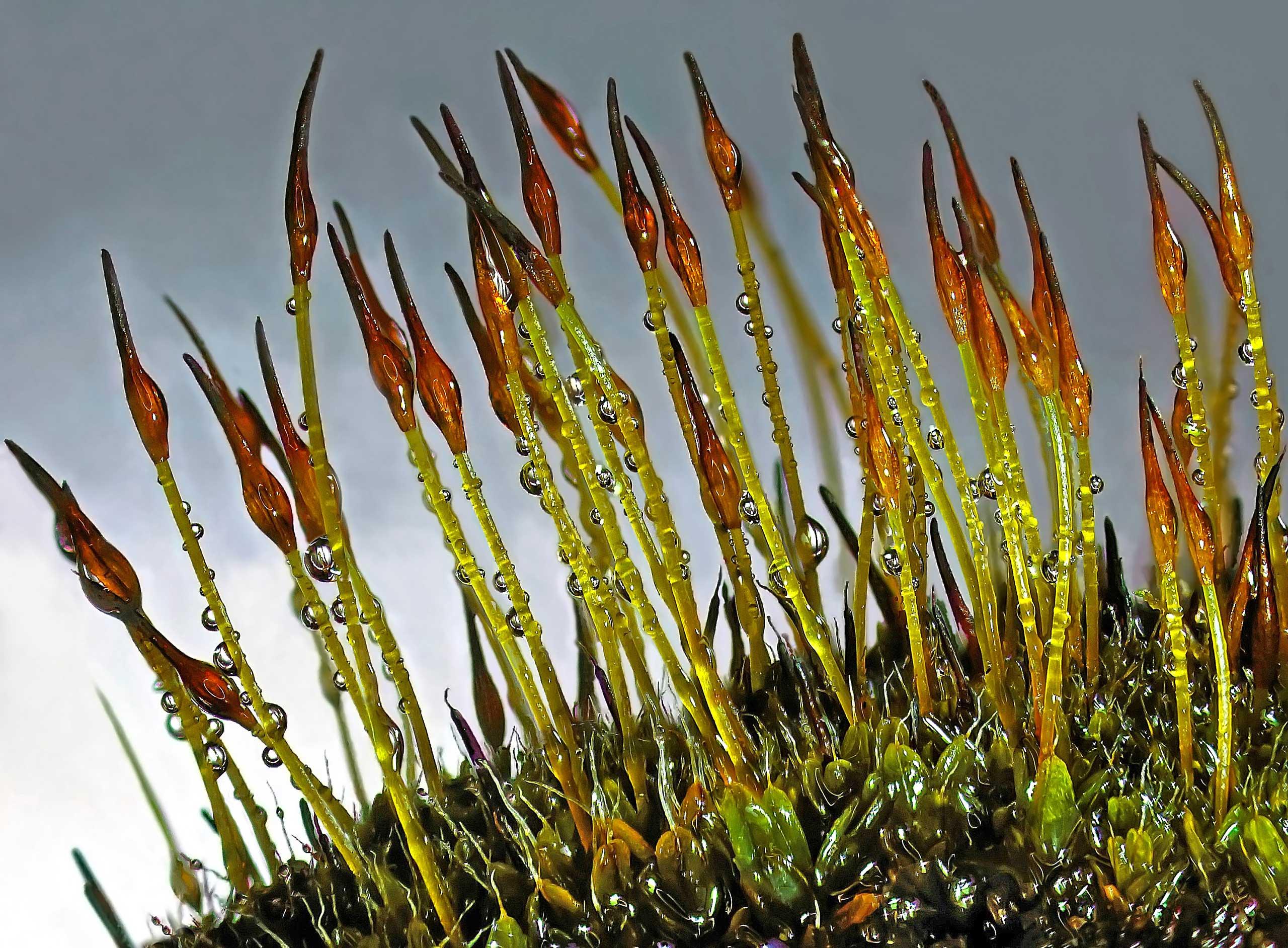 A moss specie called Tortula ruralis.