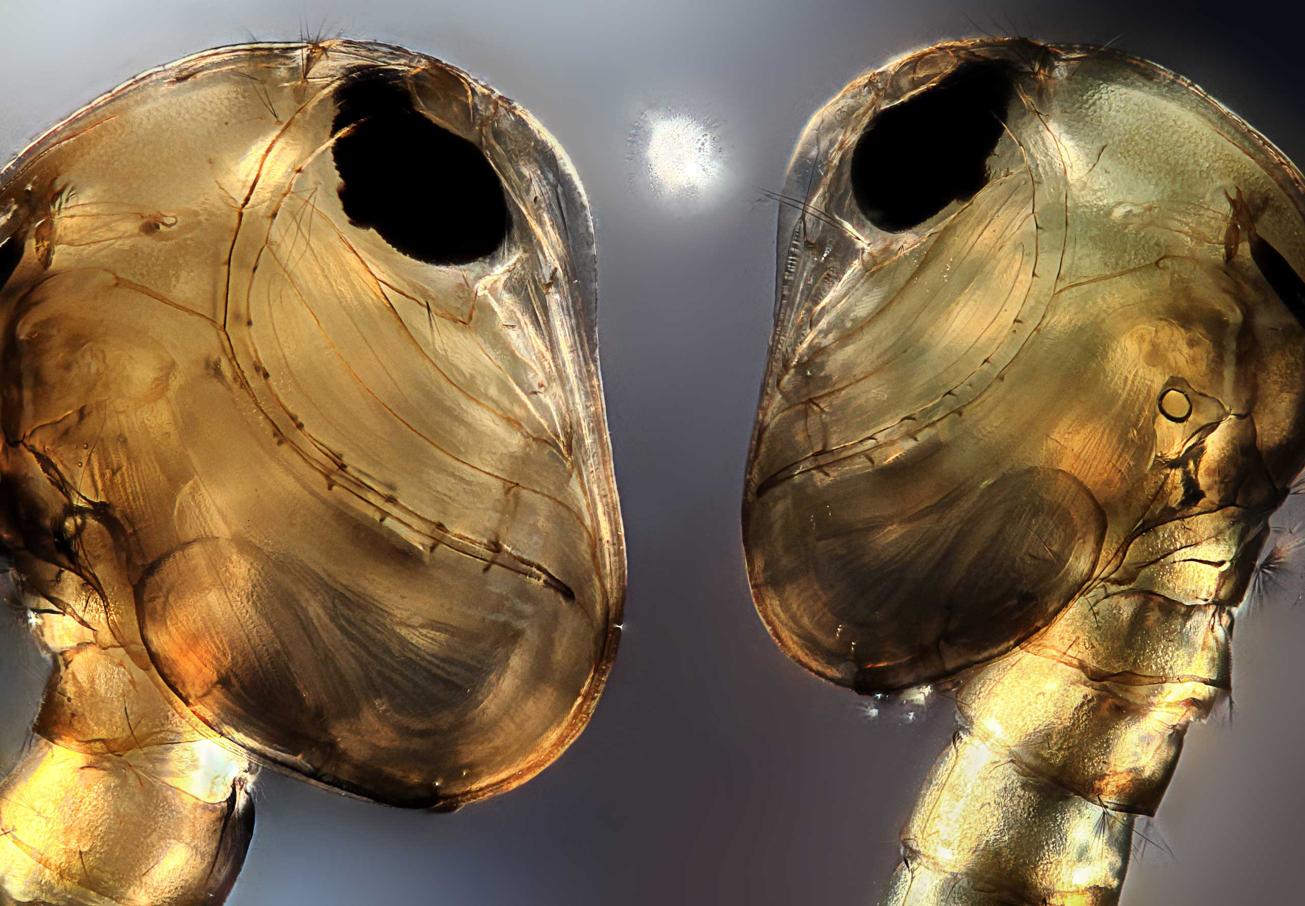 Two mosquito pupae.