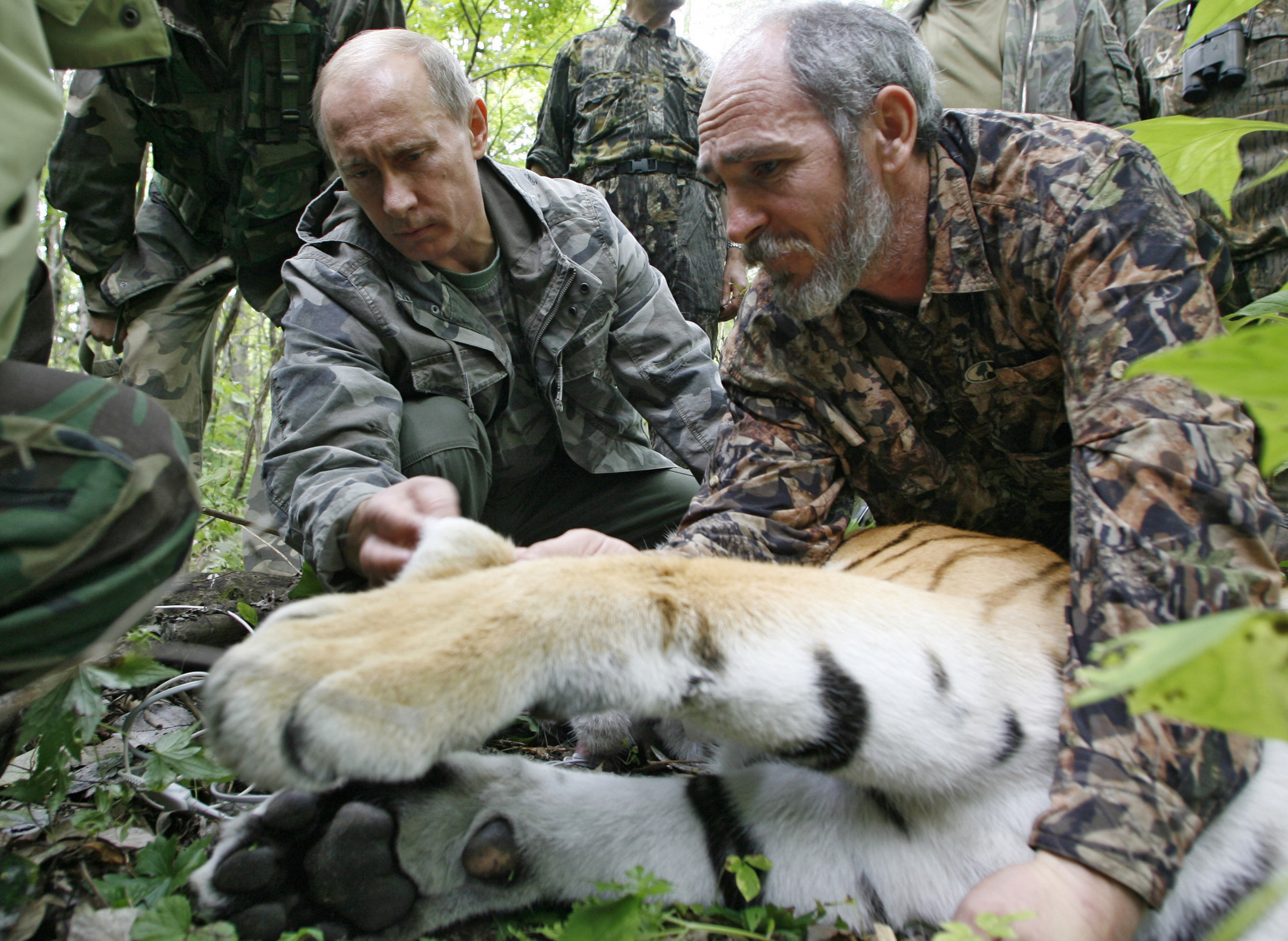 Prime Minister Vladimir Putin, left, looks at the tranquilized five-year-old Ussuri tiger as researchers put a collar with a satellite tracker on the animal in a Russian Academy of Sciences reserve in Russia's Far East on Aug. 31, 2008.