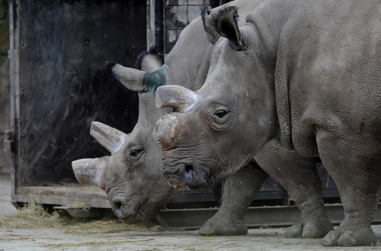 A northern white rhino named Fatu, left, and Nabiro walk in a zoo in Dvur Kralove, Czech Republic, on Dec. 16, 2009
