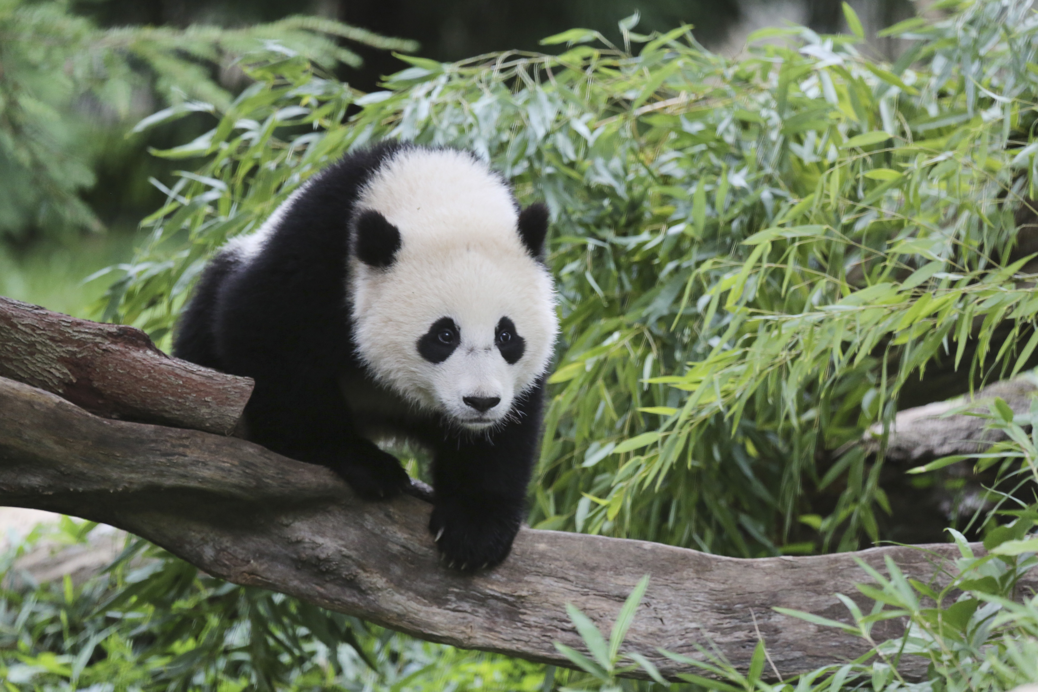 Bao Bao, a 44-pound female panda bear cub, is seen in the panda exhibit at the Smithsonian's National Zoo in Washington August 23, 2014.