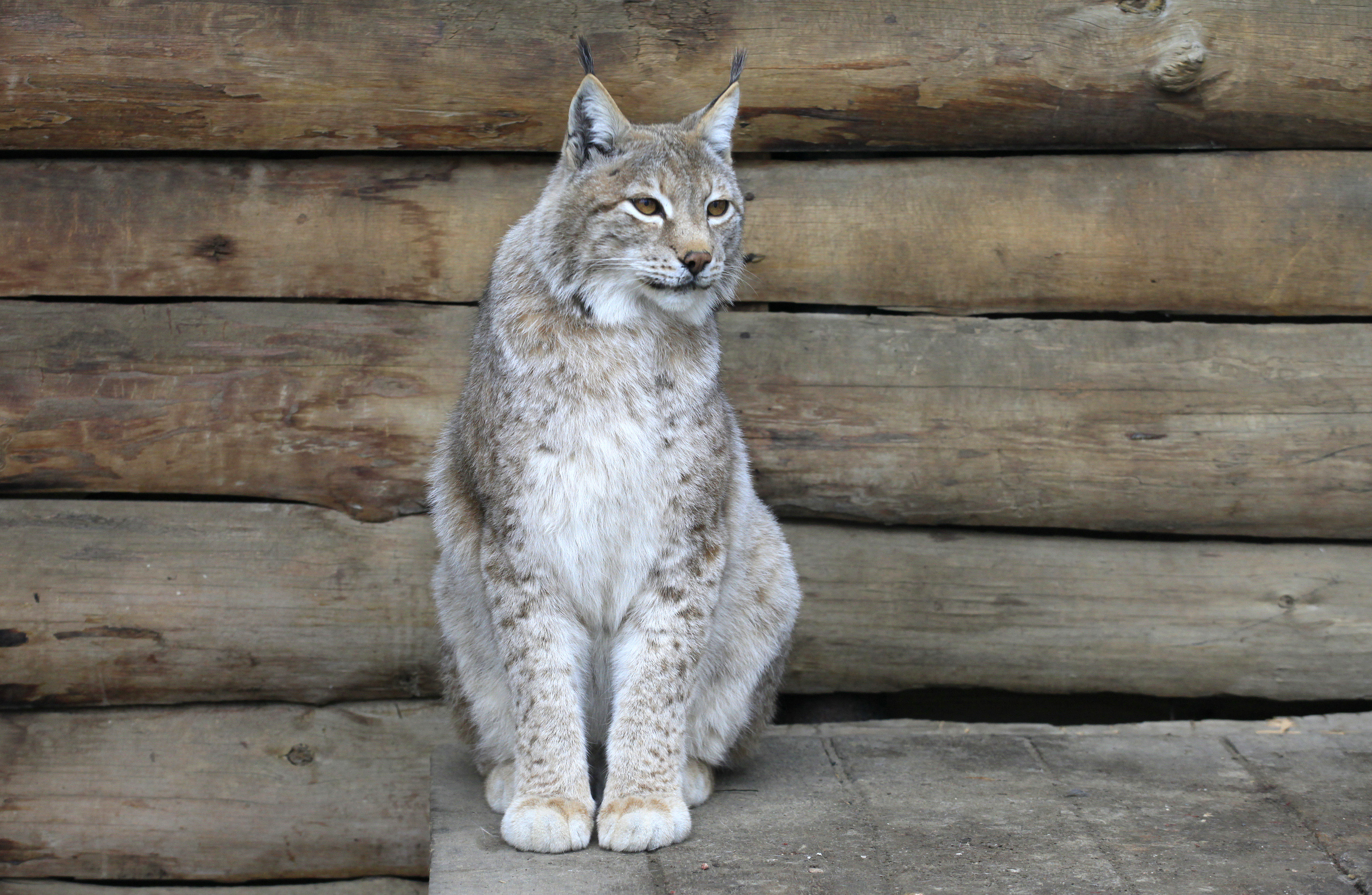 A Siberian lynx sits inside an open-air cage at the Royev Ruchey zoo on the suburbs of Russia's Siberian city of Krasnoyarsk, May 18, 2013