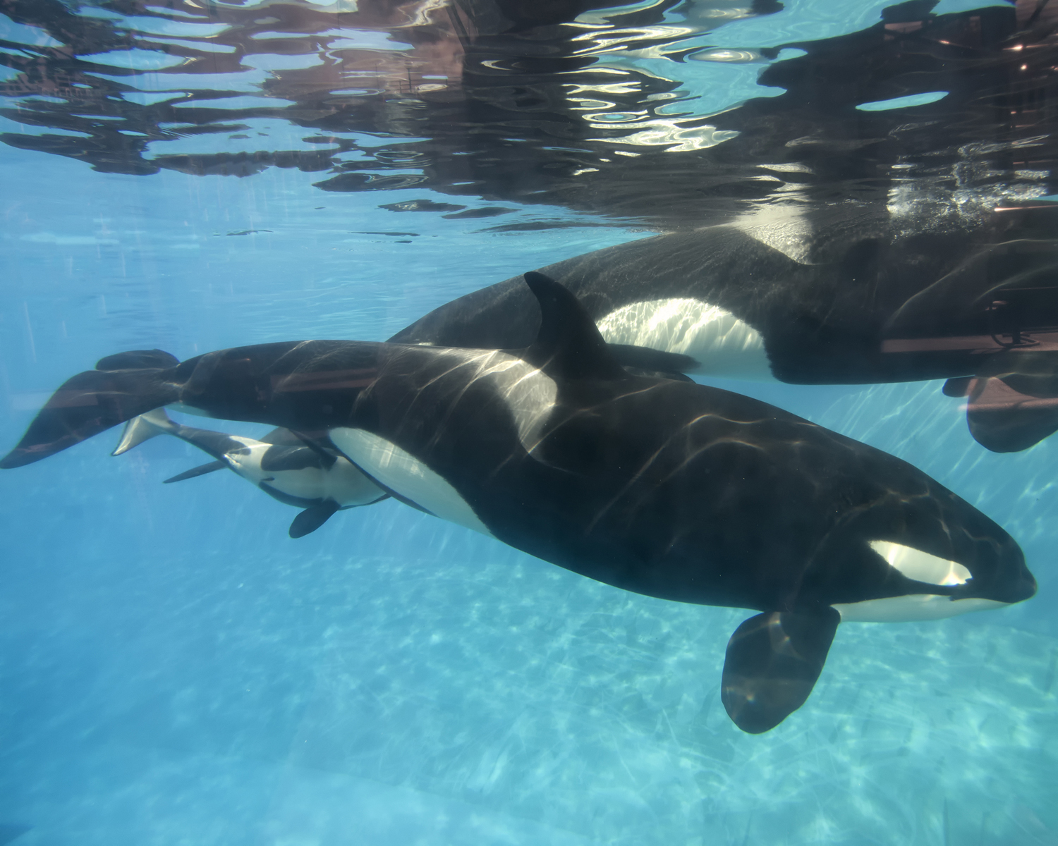 A baby killer whale calf nurses from its mother at SeaWorld San Diego's Shamu Stadium on Dec. 4, 2014 in San Diego
