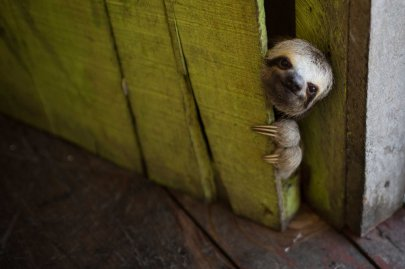 A baby sloth peeks out from behind a door on a floating house near Manaus, Brazil, May 20, 2014.