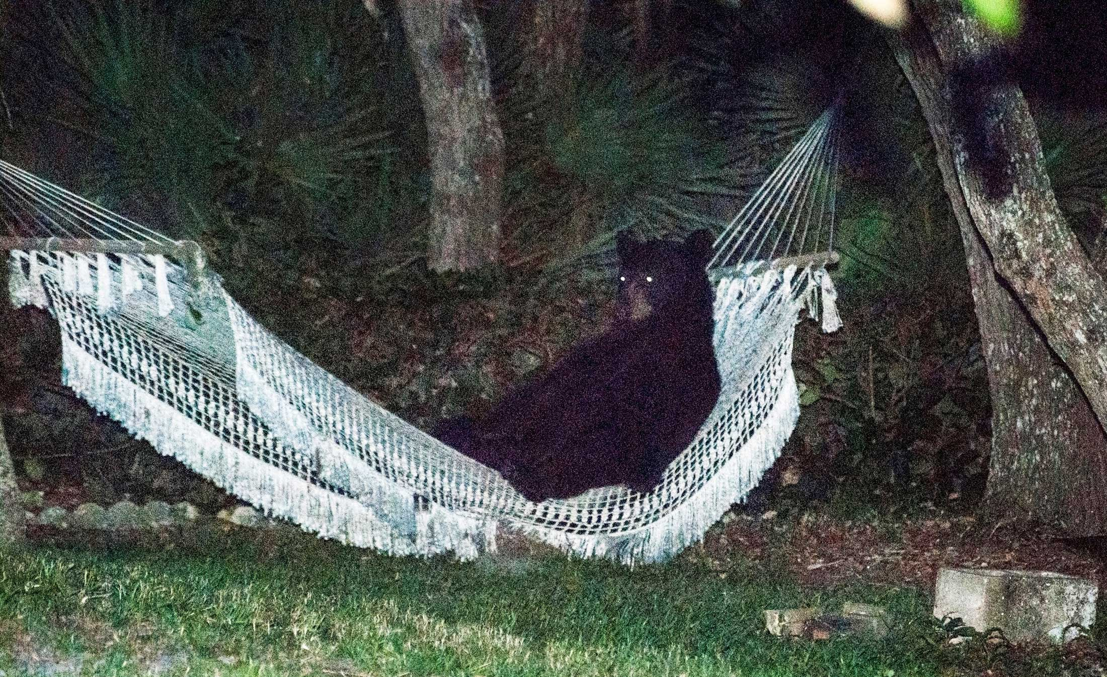 A black bear lies on a hammock at a residential back yard in Daytona Beach, Florida early evening on May 30, 2014.
