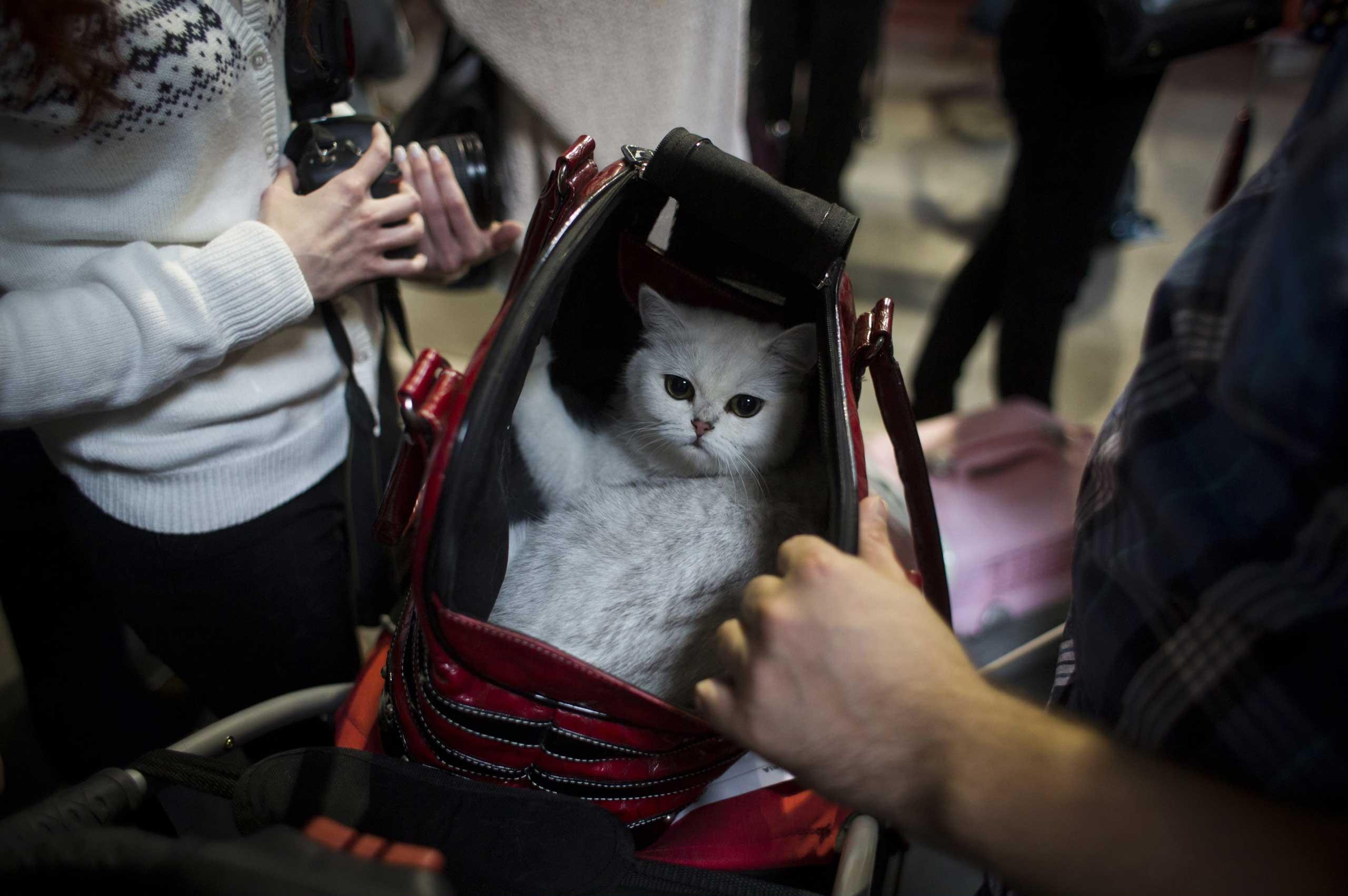 A cat is placed in a transport bag during the World Cat Show in Prague, Oct. 25, 2014.