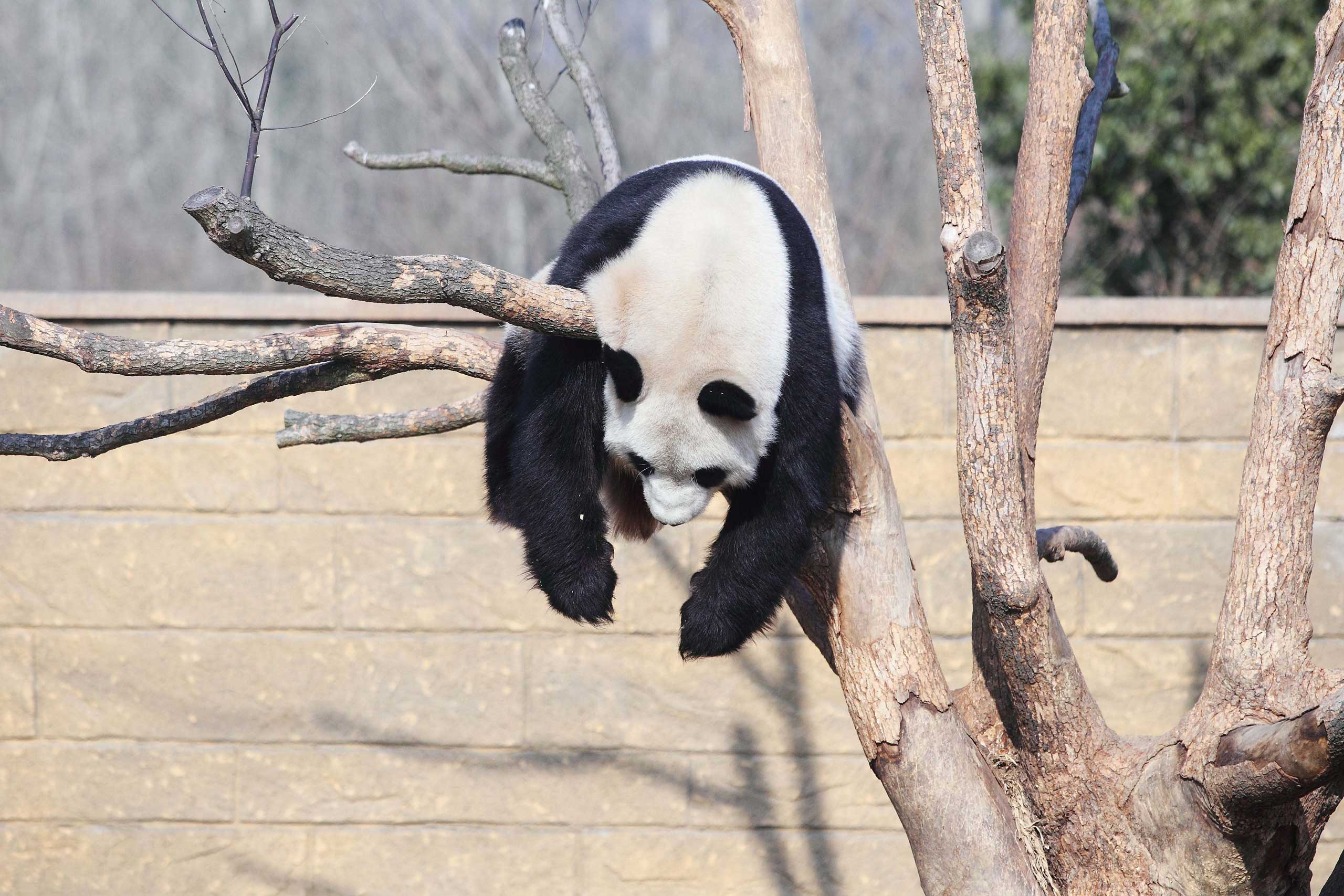 A panda named Li Li plays on a tree in the sunshine in a zoo in Hangzhou in Zhejiang Province, China,  Jan. 01, 2014.