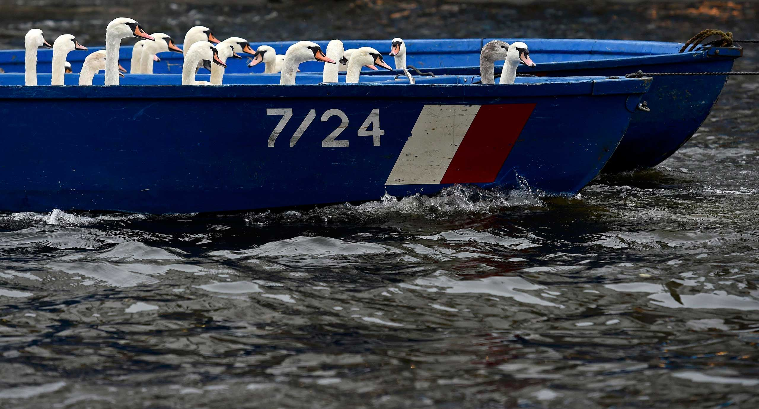 Swans sit in a boat after they were rounded up from Hamburg's lake Alster, Nov. 18, 2014.