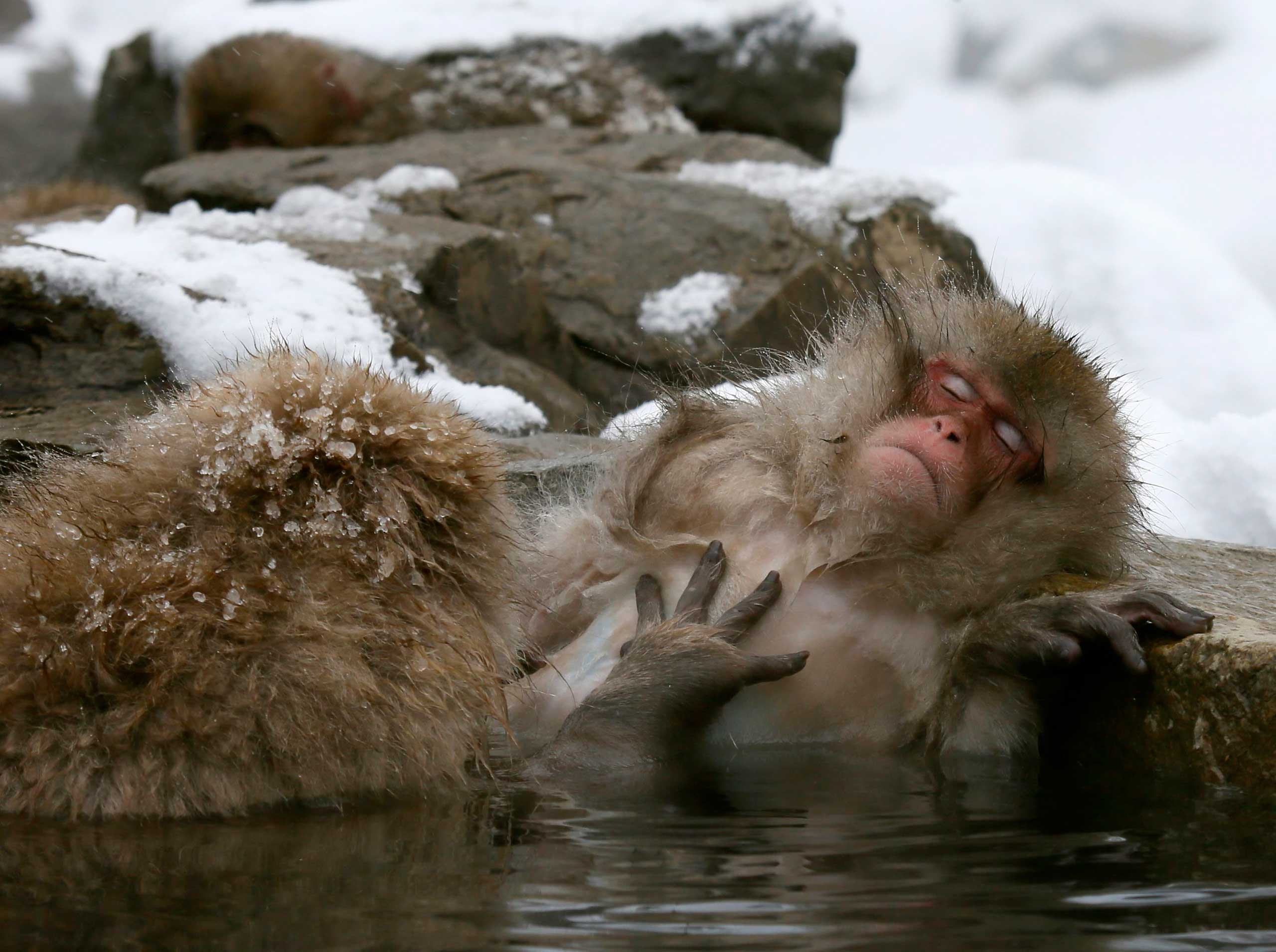 Japanese Macaque monkeys soak in the warmth of mountain hotsprings at Jigokudani Monkey Park, Yamanouchi, Japan, Jan. 19, 2014.