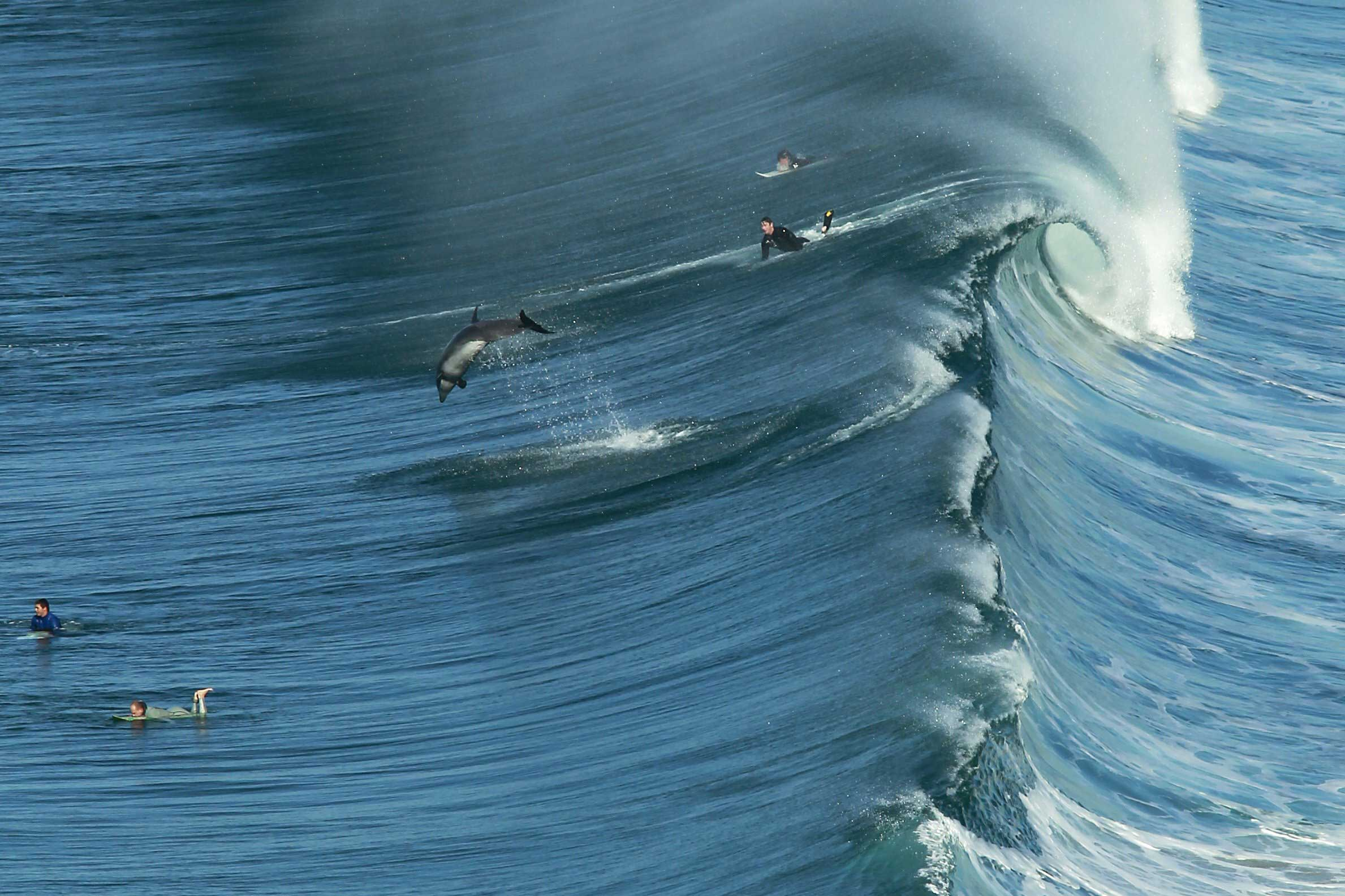 A dolphin jumps as a large wave starts to roll, San Diego, Calif., Jan. 20, 2014.