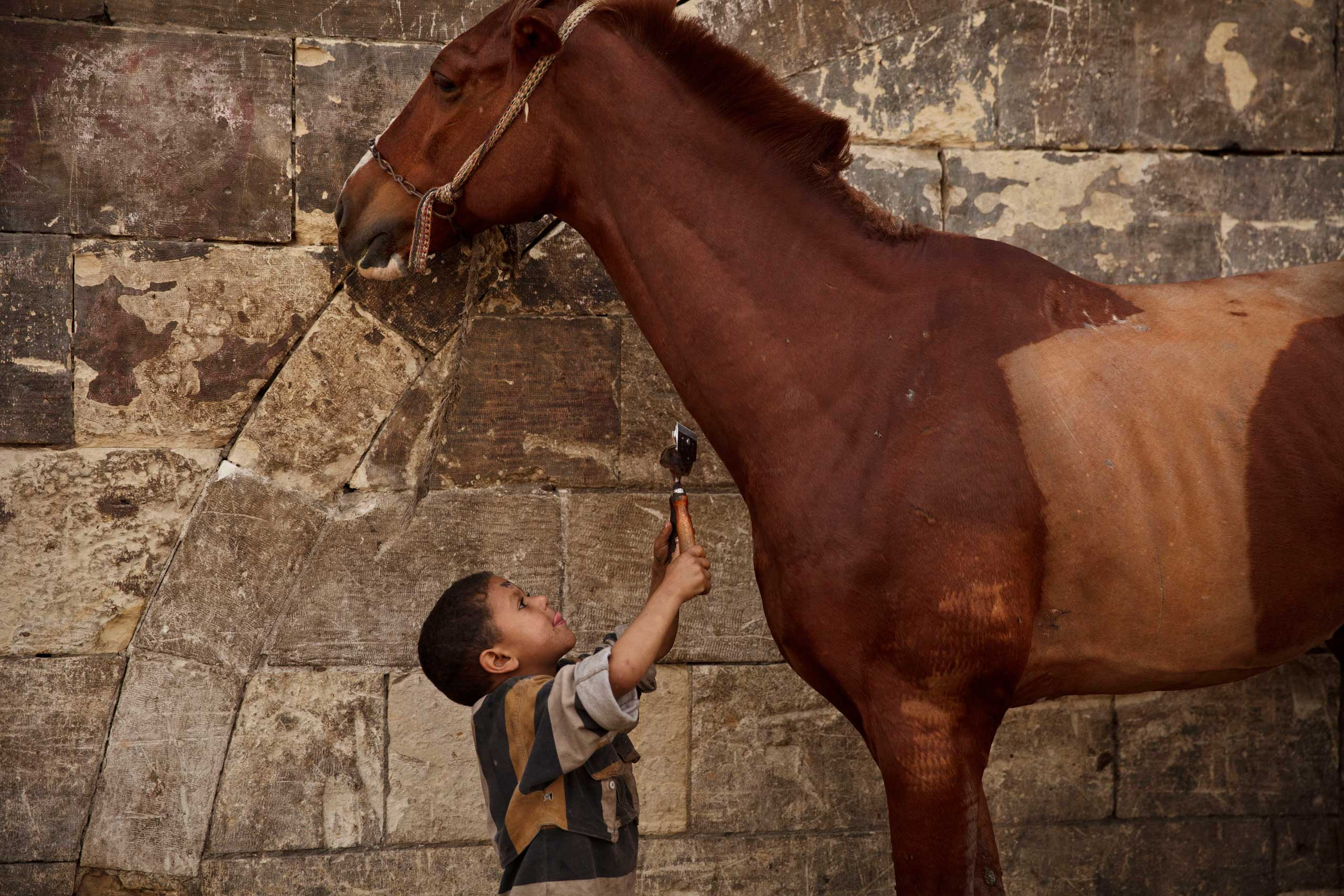 Mustafa Mohamed, 5, reaches to trim a horse at his father's makeshift animal barber shop in Cairo, March 8, 2014.
